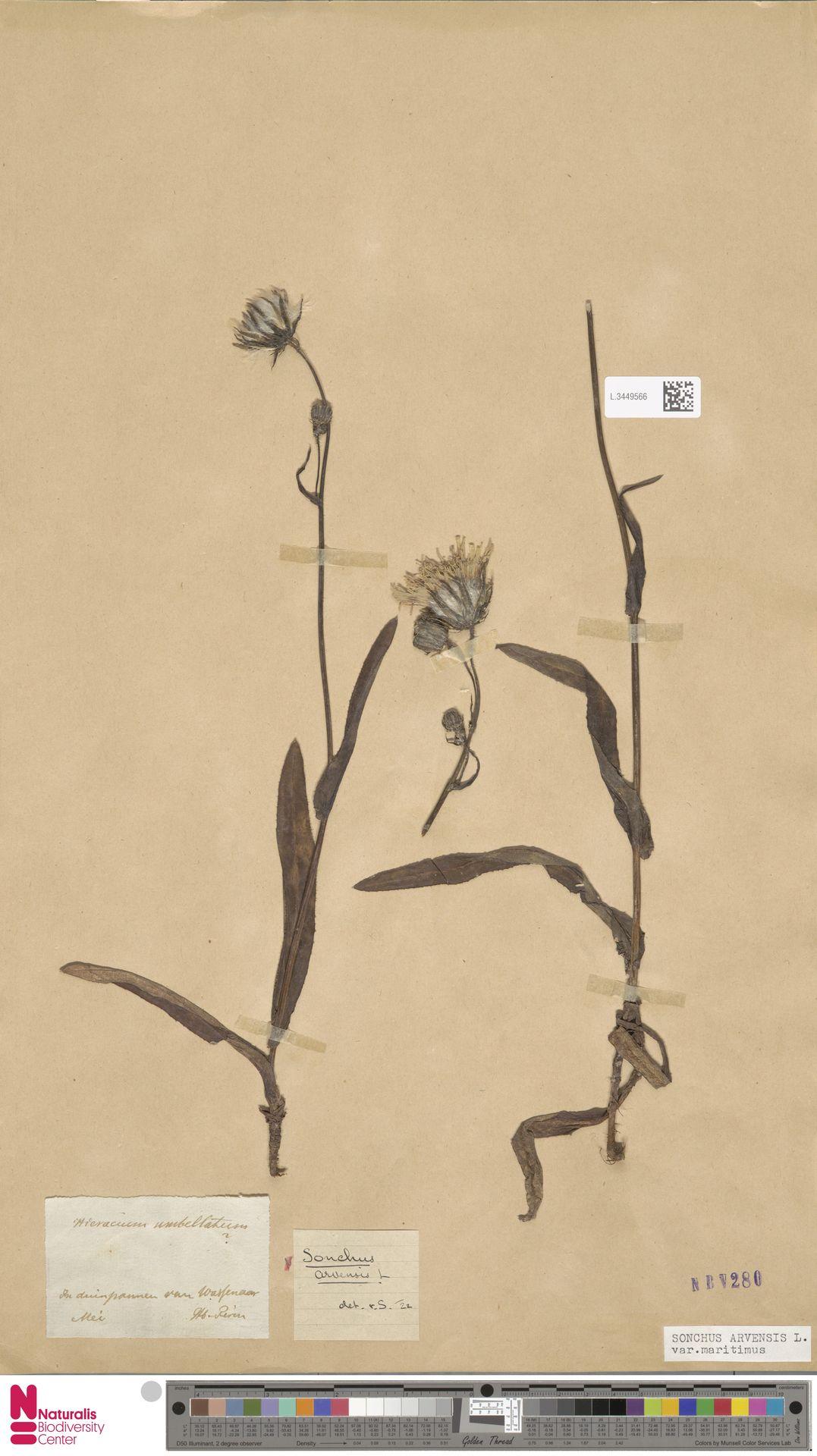 L.3449566 | Sonchus arvensis var. maritimus G.Mey.