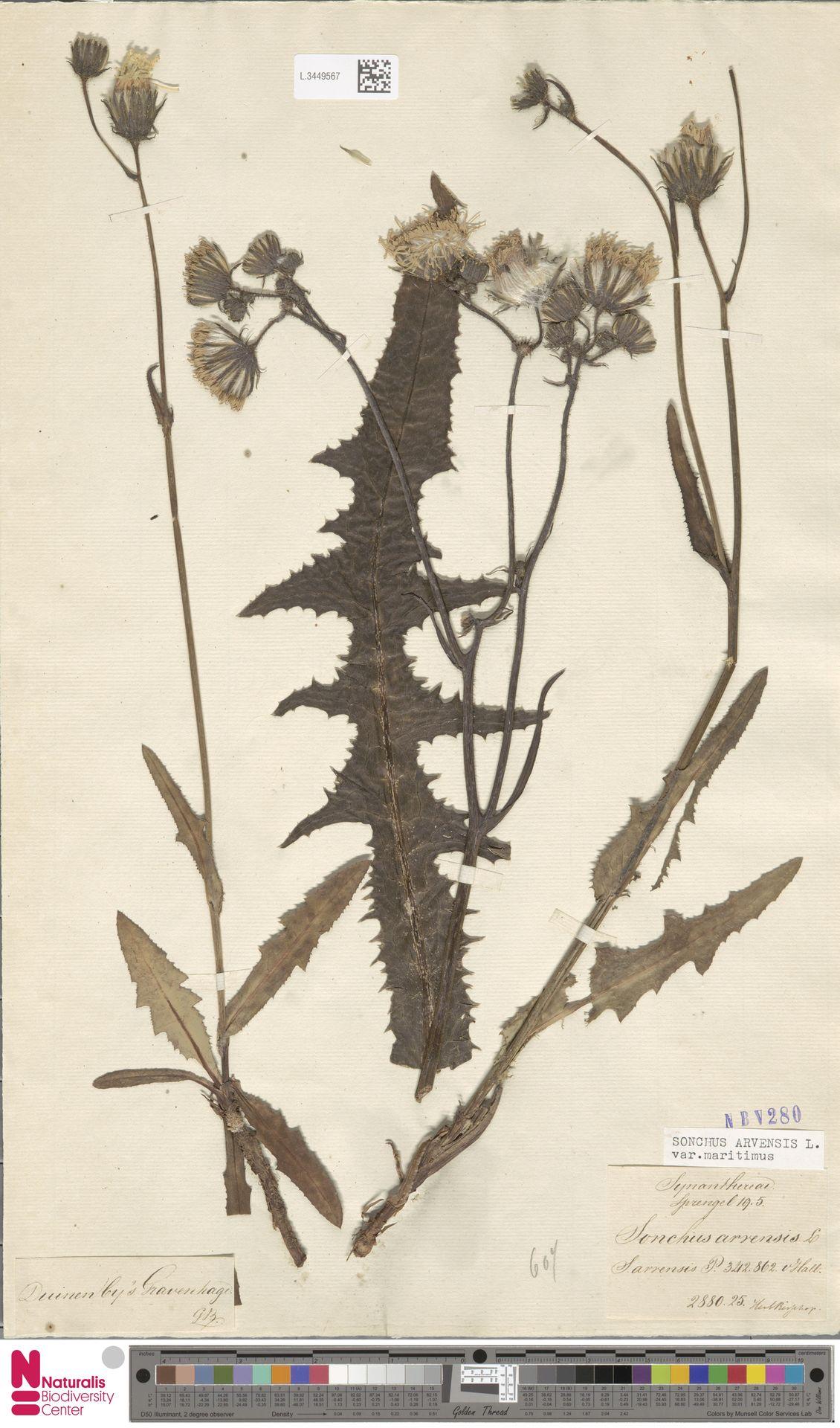L.3449567 | Sonchus arvensis var. maritimus G.Mey.