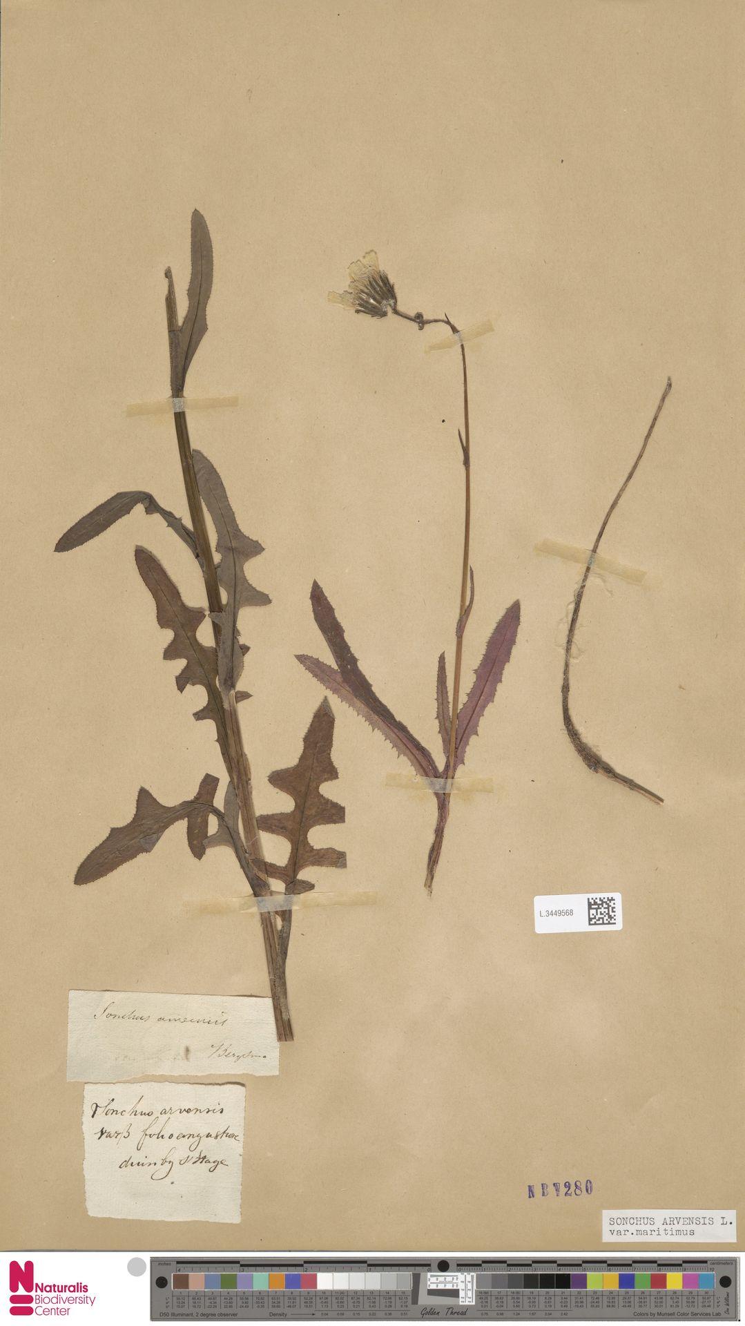 L.3449568 | Sonchus arvensis var. maritimus G.Mey.
