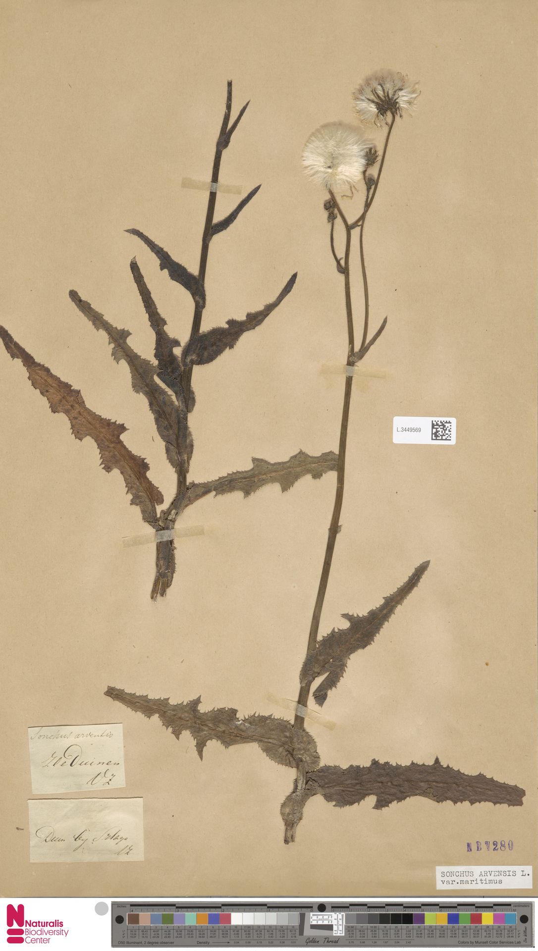 L.3449569 | Sonchus arvensis var. maritimus G.Mey.
