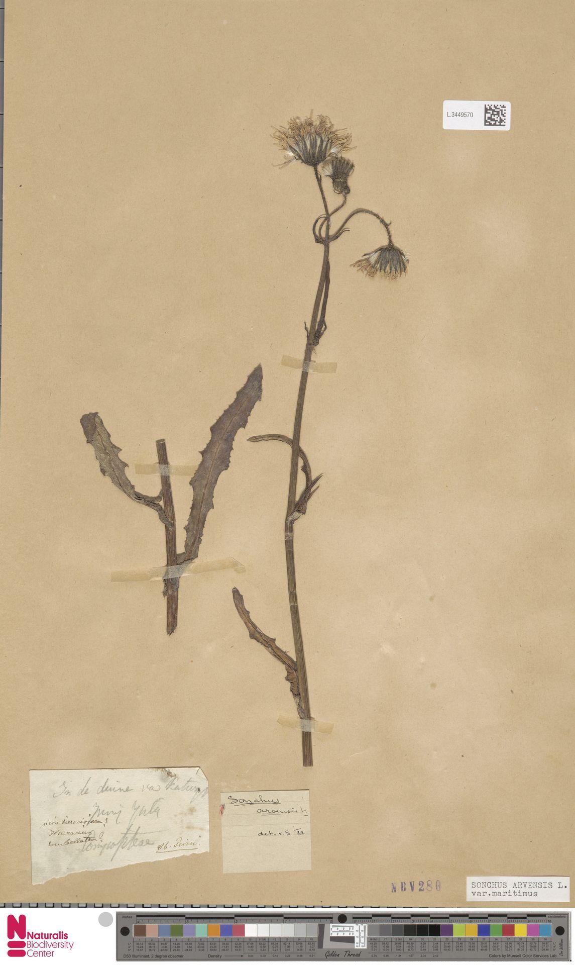 L.3449570 | Sonchus arvensis var. maritimus G.Mey.