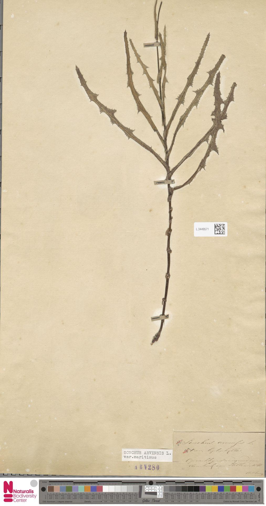 L.3449571 | Sonchus arvensis var. maritimus G.Mey.