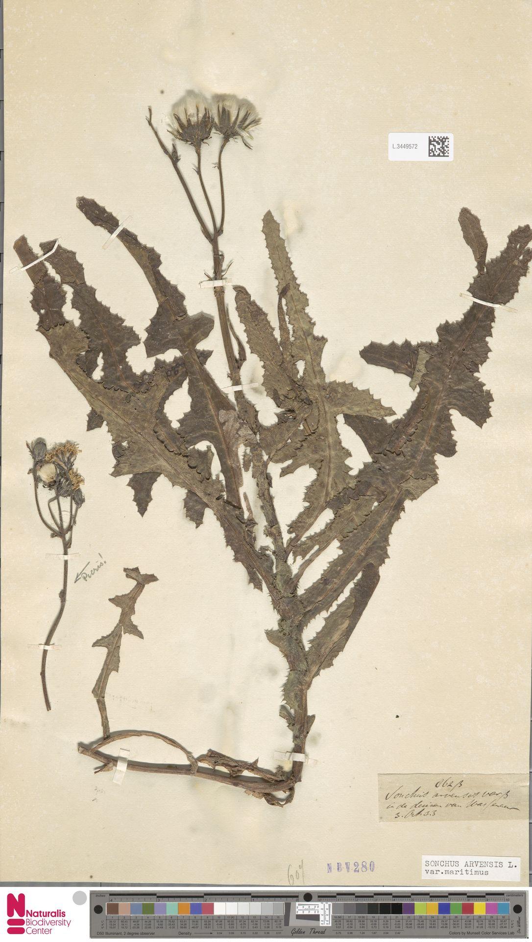 L.3449572 | Sonchus arvensis var. maritimus G.Mey.