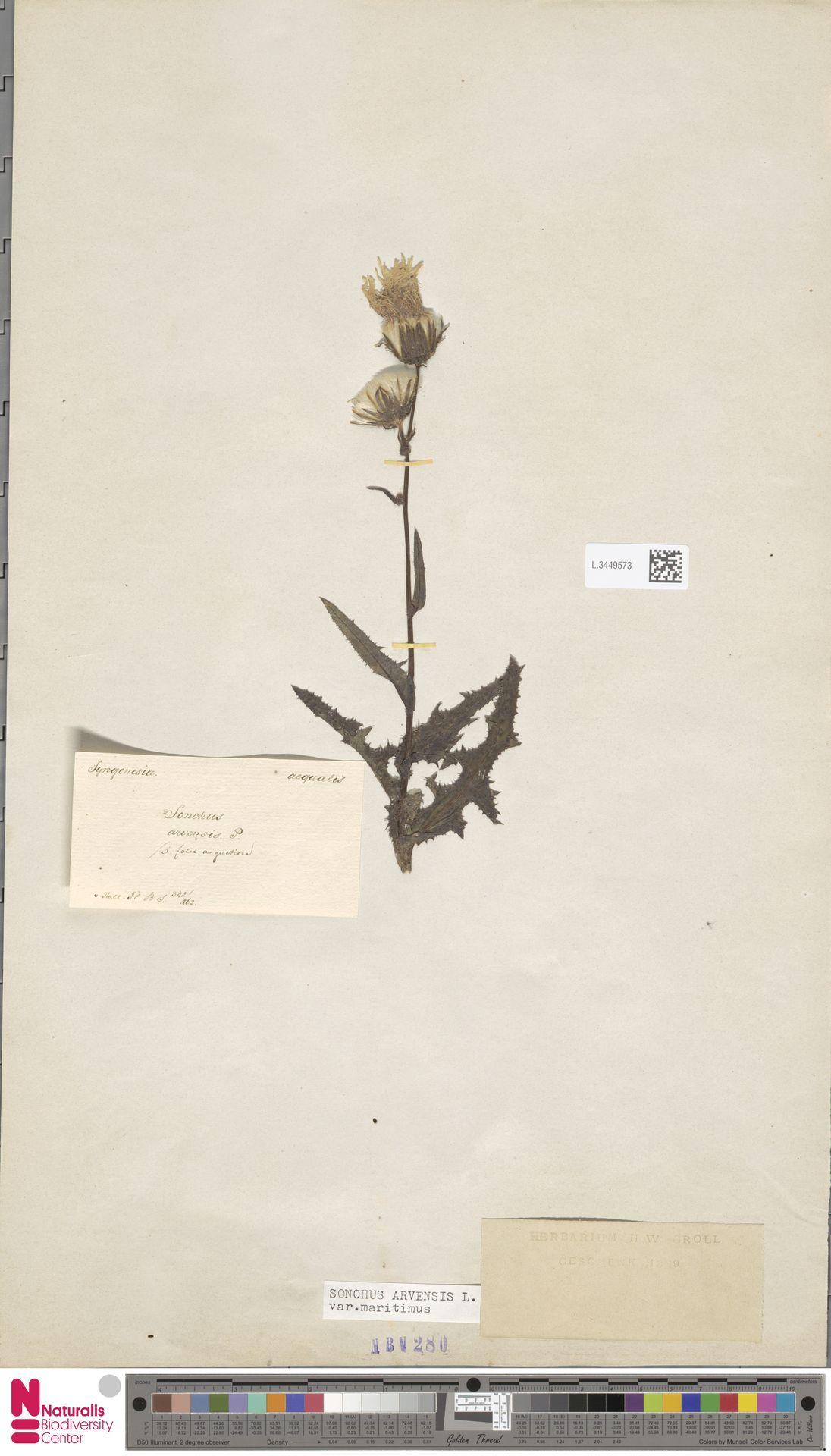 L.3449573 | Sonchus arvensis var. maritimus G.Mey.