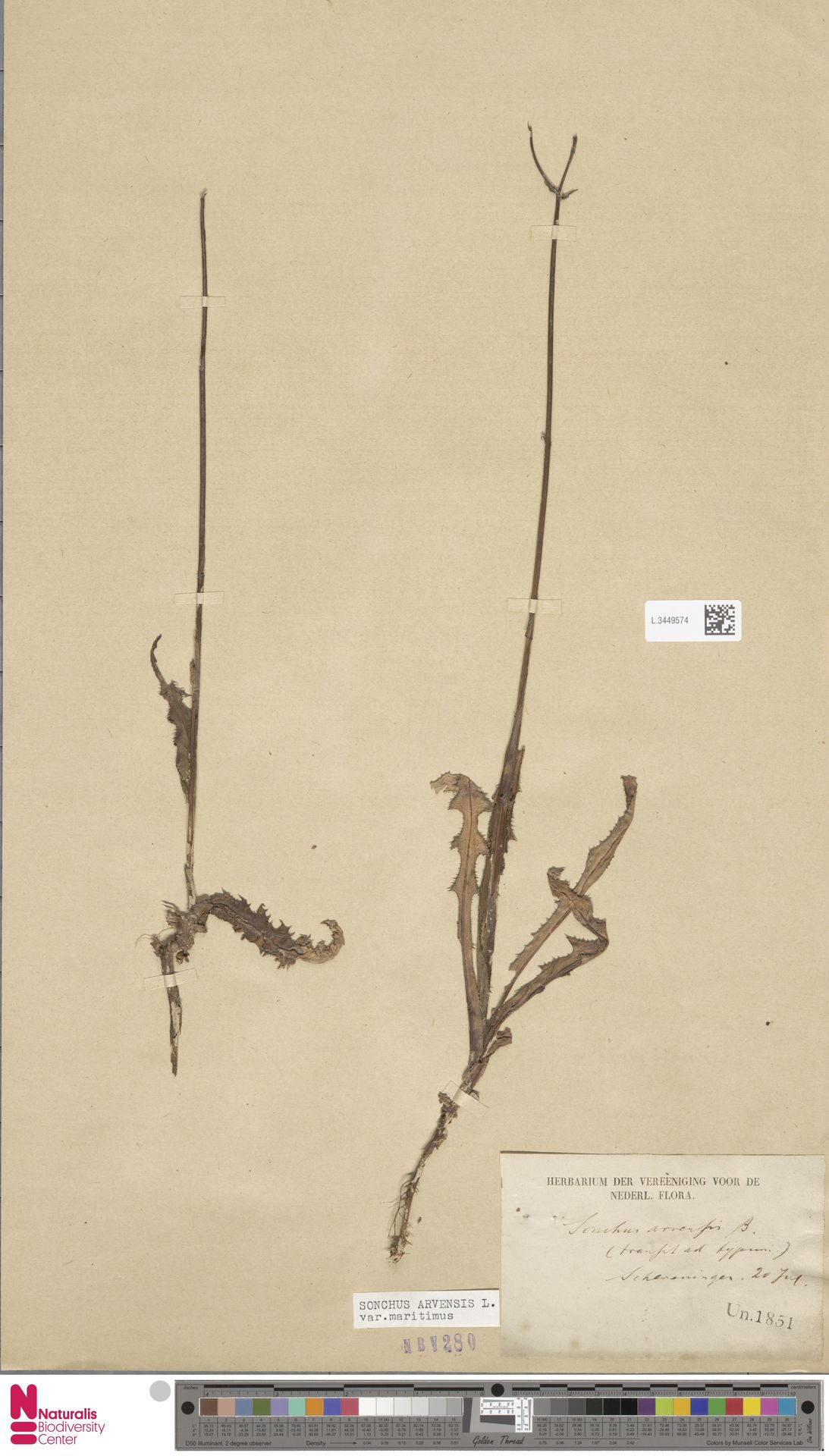 L.3449574 | Sonchus arvensis var. maritimus G.Mey.