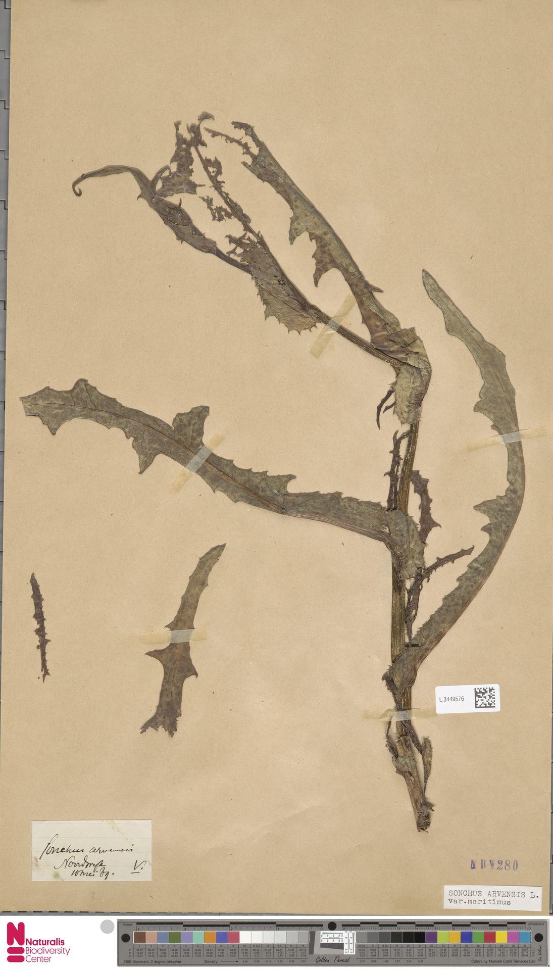 L.3449576 | Sonchus arvensis var. maritimus G.Mey.