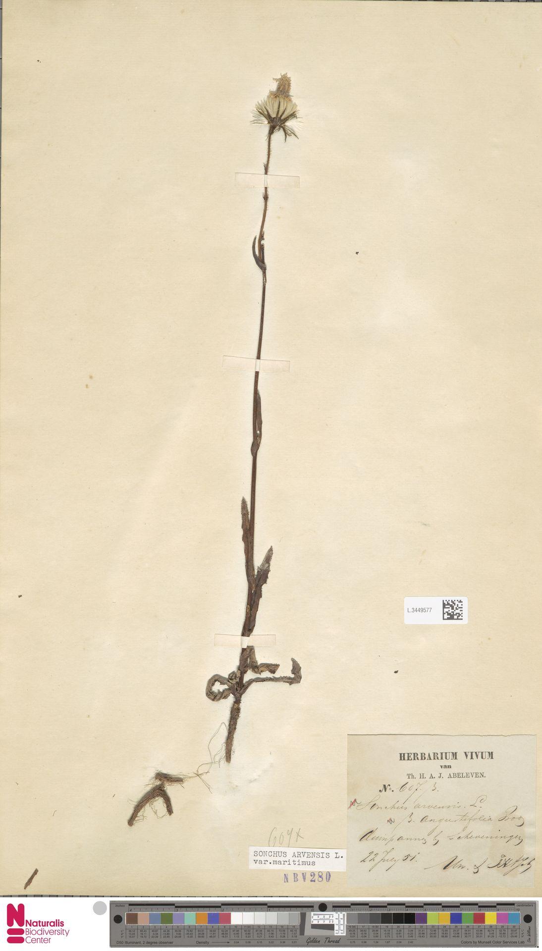 L.3449577 | Sonchus arvensis var. maritimus G.Mey.