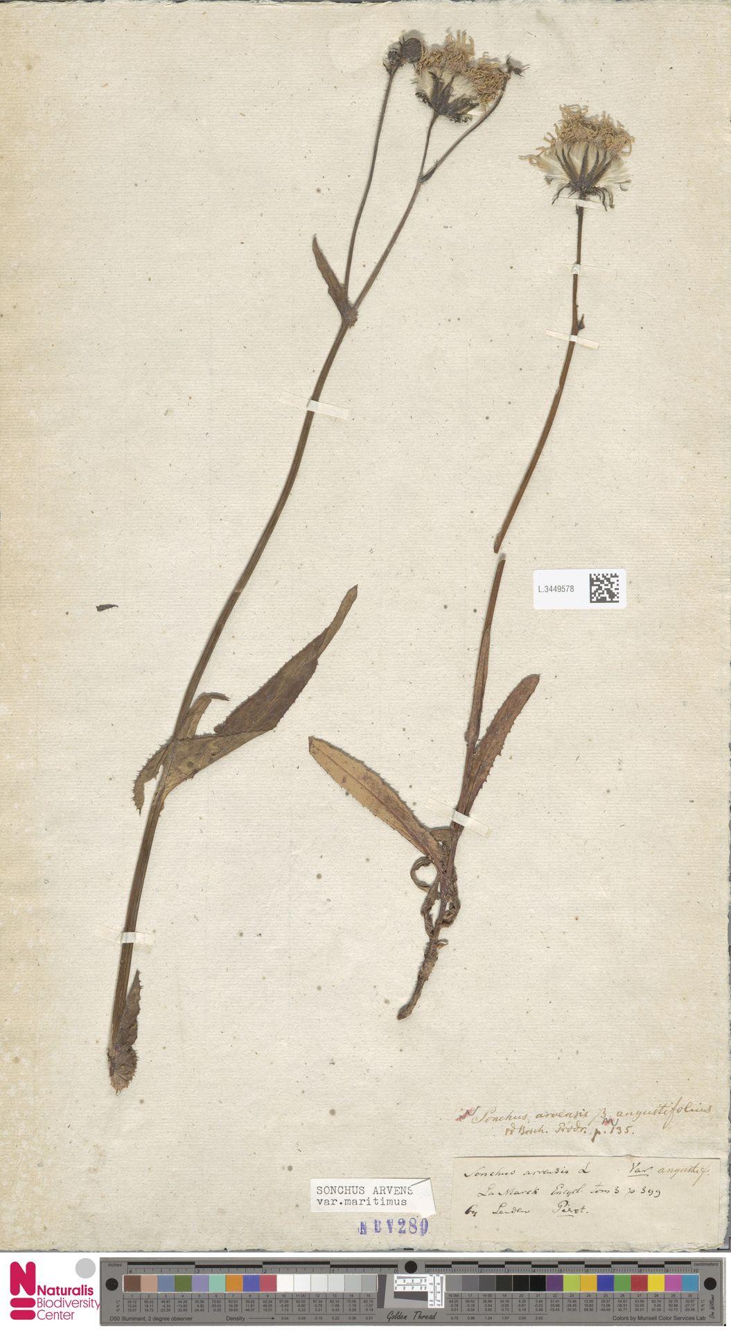 L.3449578 | Sonchus arvensis var. maritimus G.Mey.