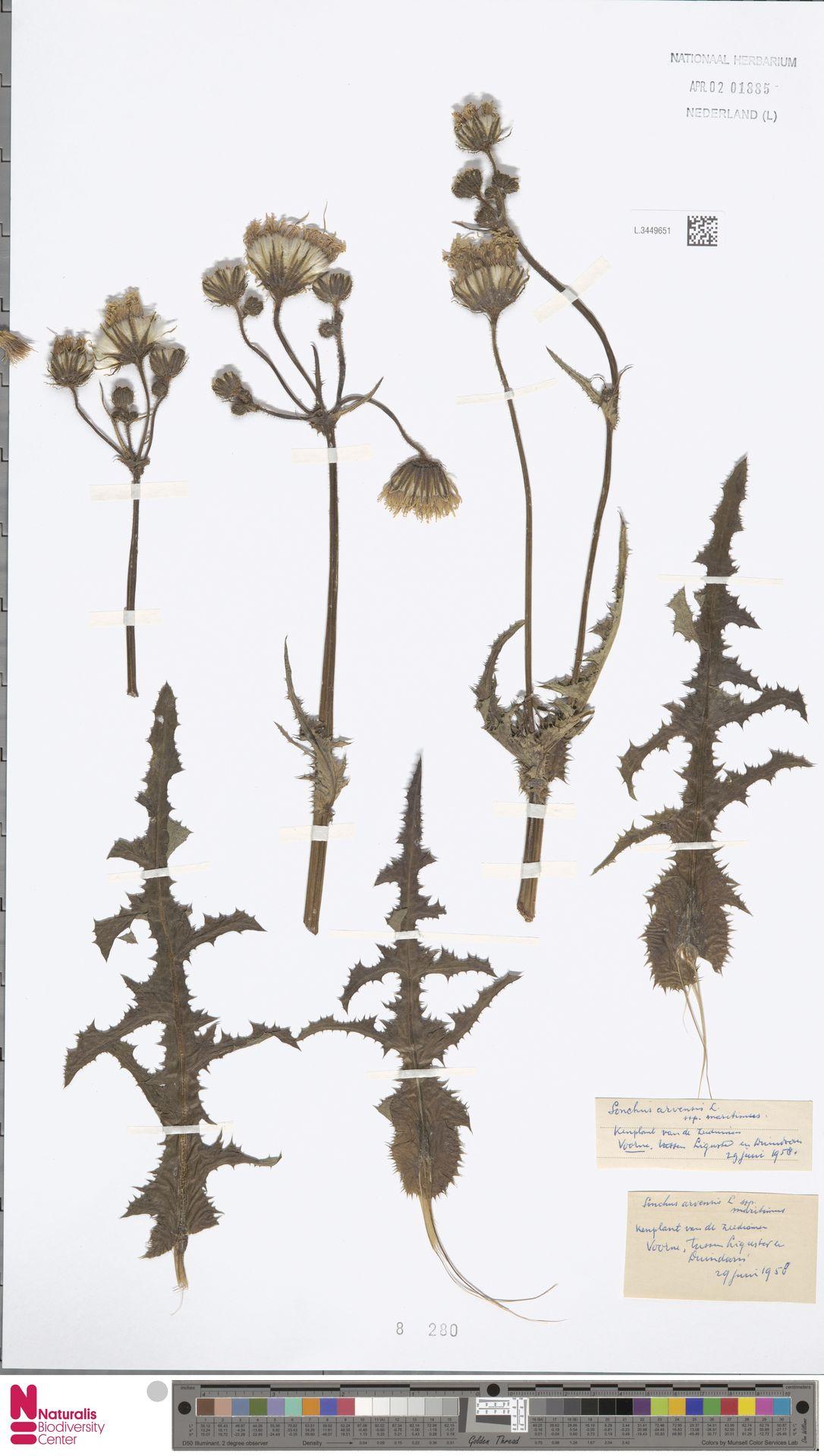 L.3449651 | Sonchus arvensis subsp. maritimus