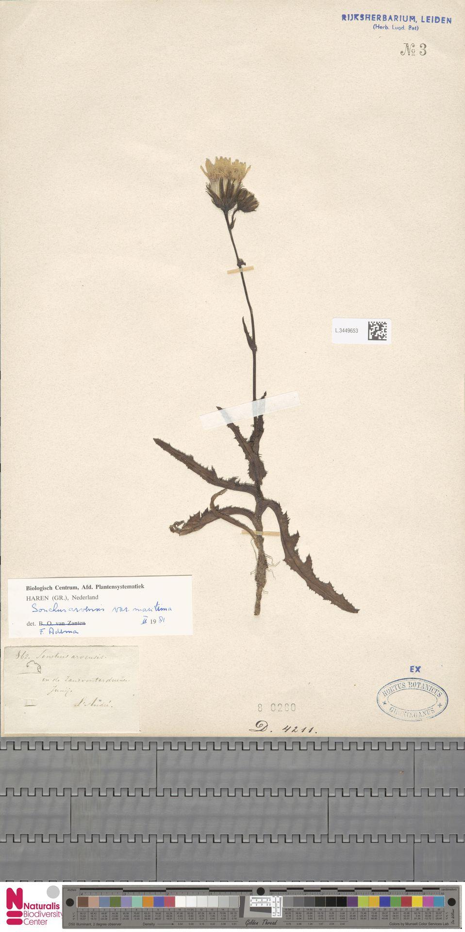 L.3449653 | Sonchus arvensis var. maritimus G.Mey.