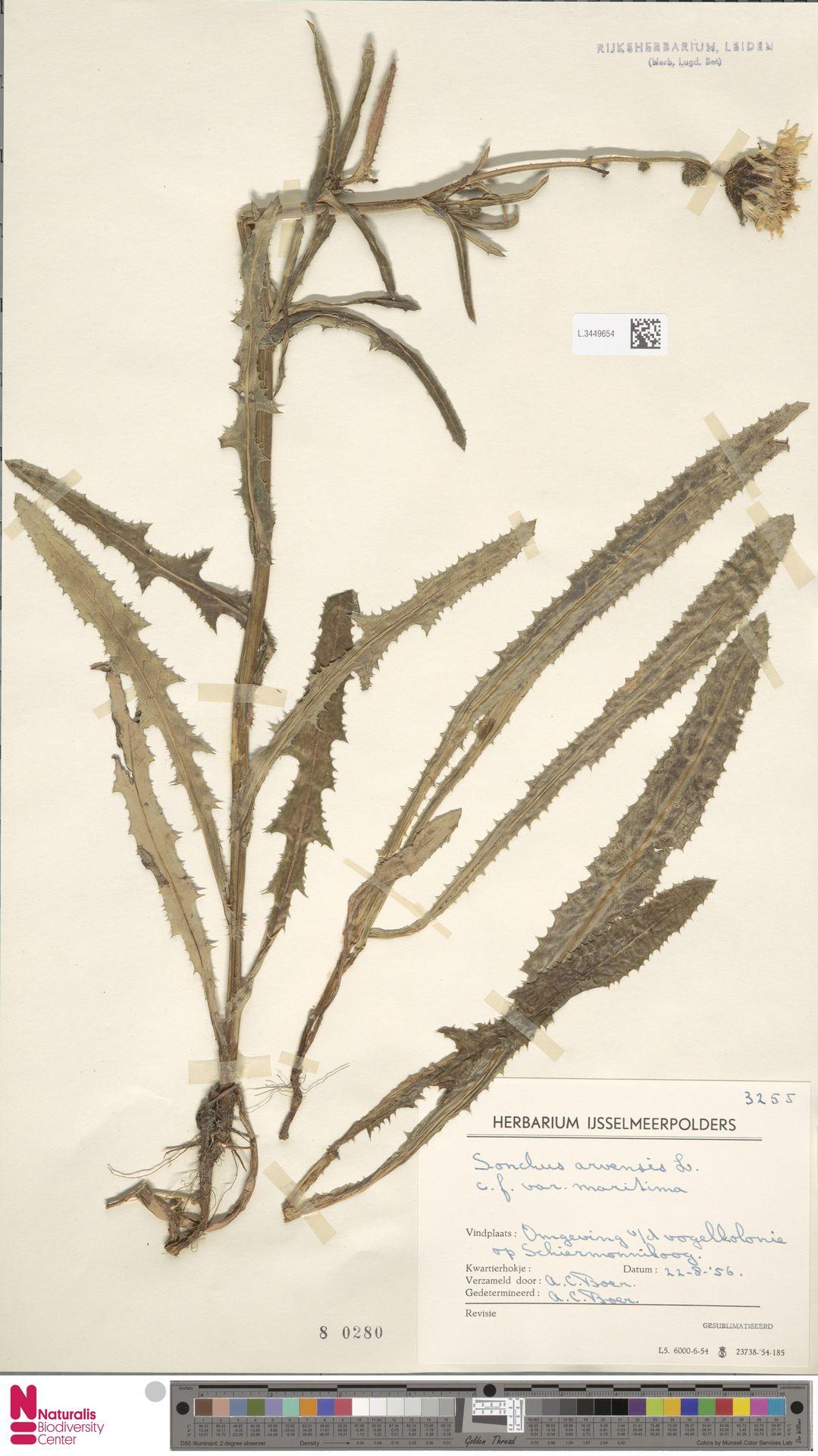 L.3449654 | Sonchus arvensis var. maritimus G.Mey.
