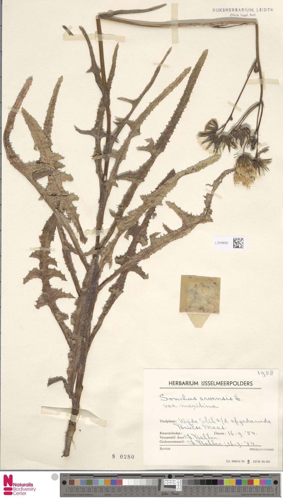 L.3449656 | Sonchus arvensis var. maritimus G.Mey.