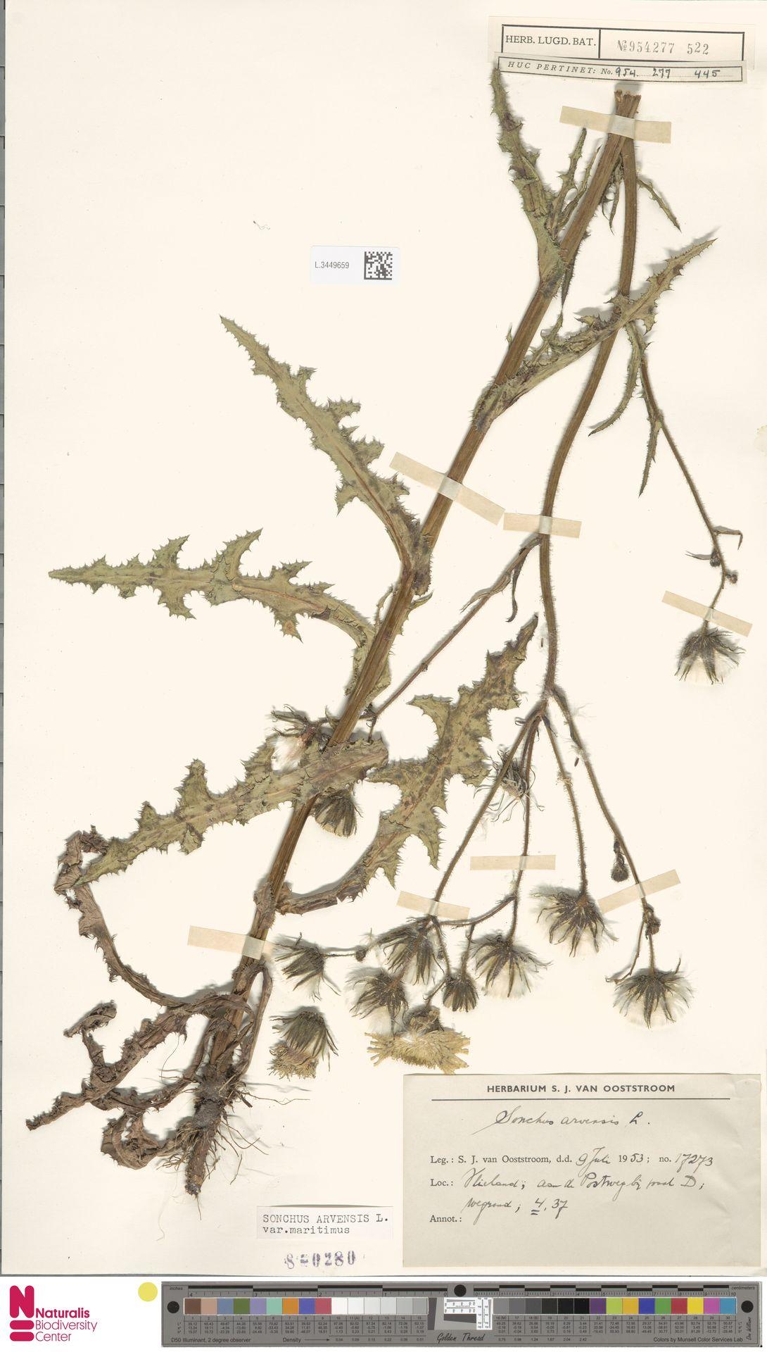 L.3449659 | Sonchus arvensis var. maritimus G.Mey.