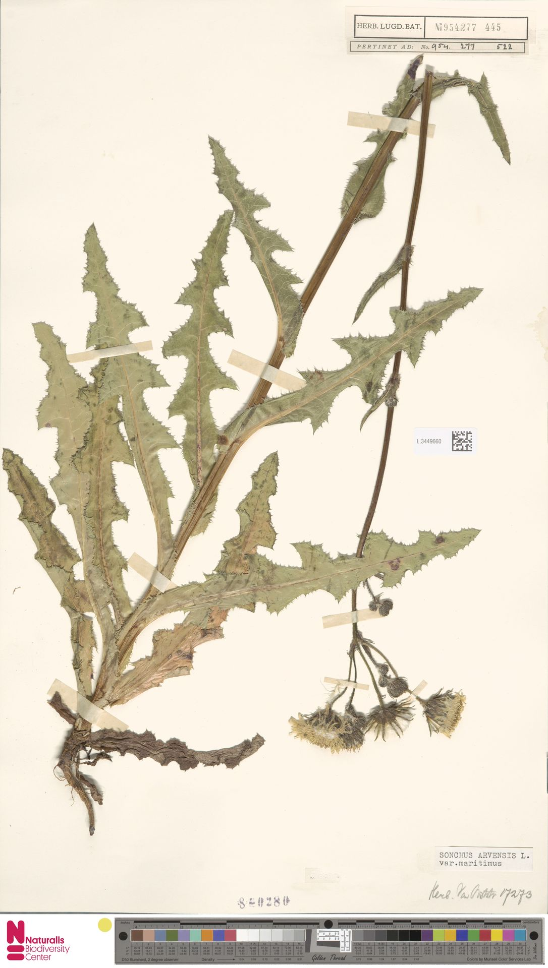 L.3449660 | Sonchus arvensis var. maritimus G.Mey.