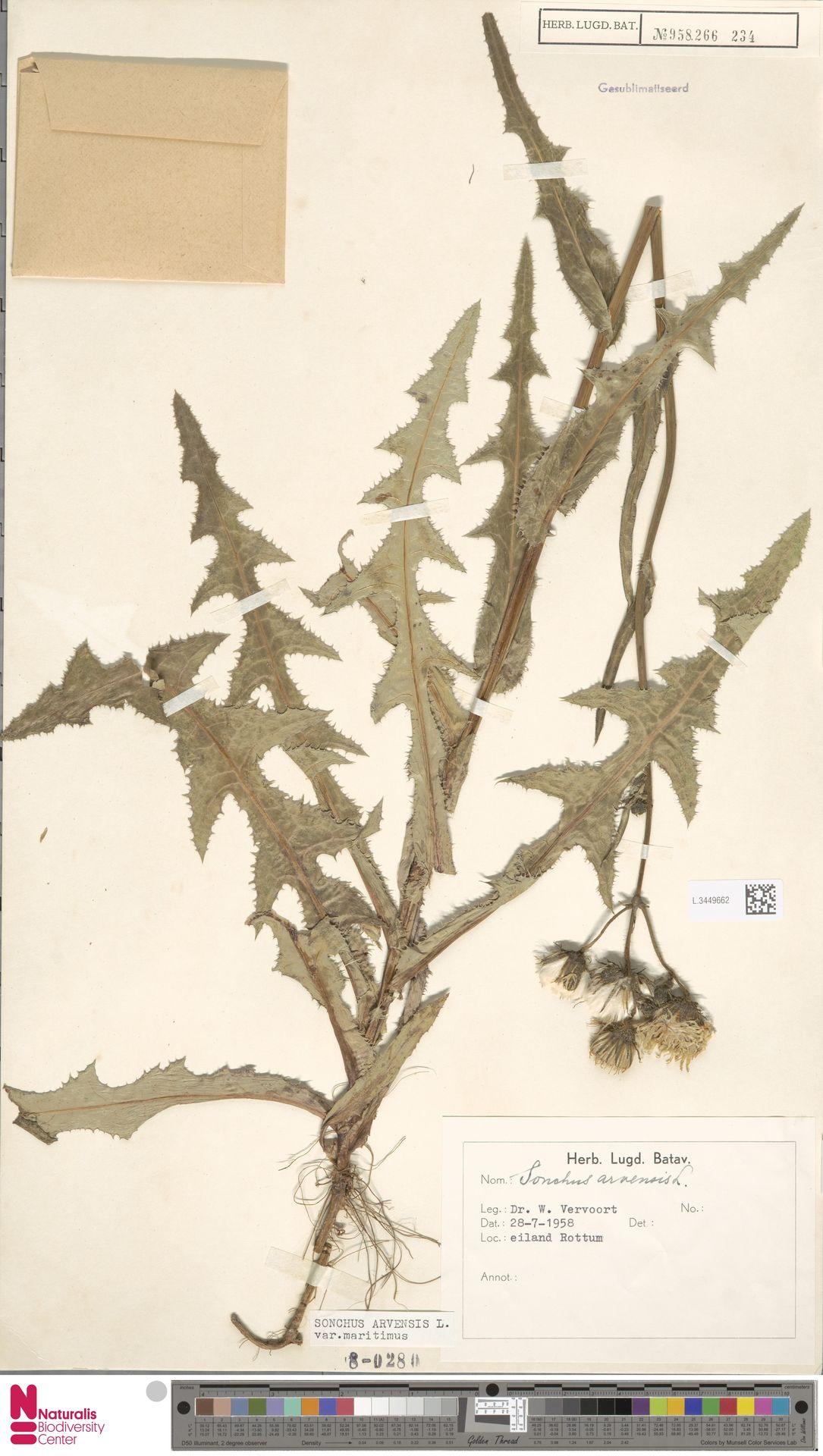 L.3449662 | Sonchus arvensis var. maritimus G.Mey.