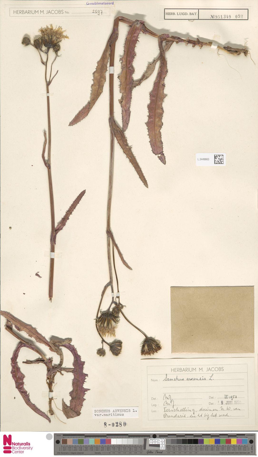 L.3449663 | Sonchus arvensis var. maritimus G.Mey.