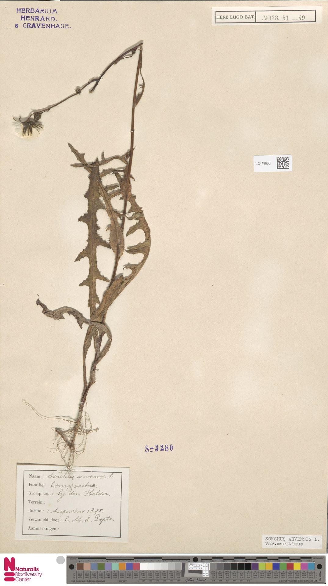 L.3449666 | Sonchus arvensis var. maritimus G.Mey.