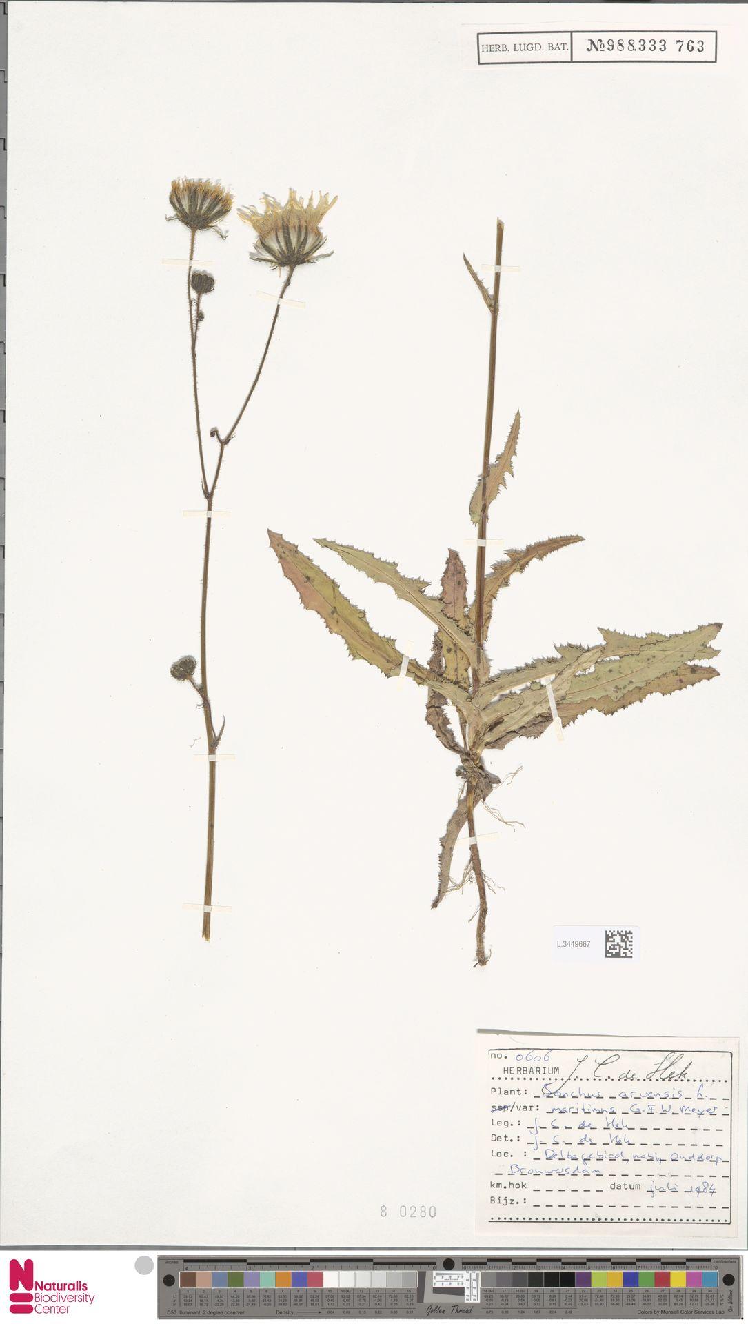 L.3449667 | Sonchus arvensis var. maritimus G.Mey.