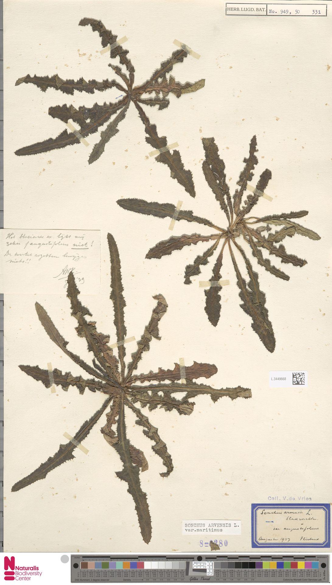L.3449668   Sonchus arvensis var. maritimus G.Mey.