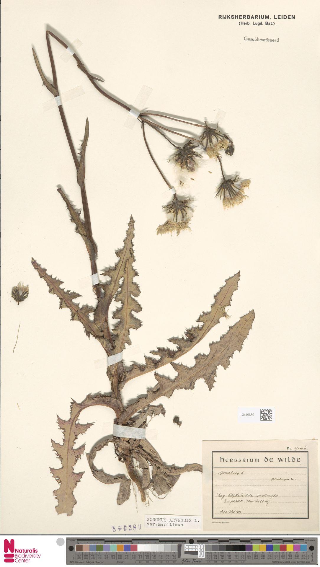 L.3449669 | Sonchus arvensis var. maritimus G.Mey.