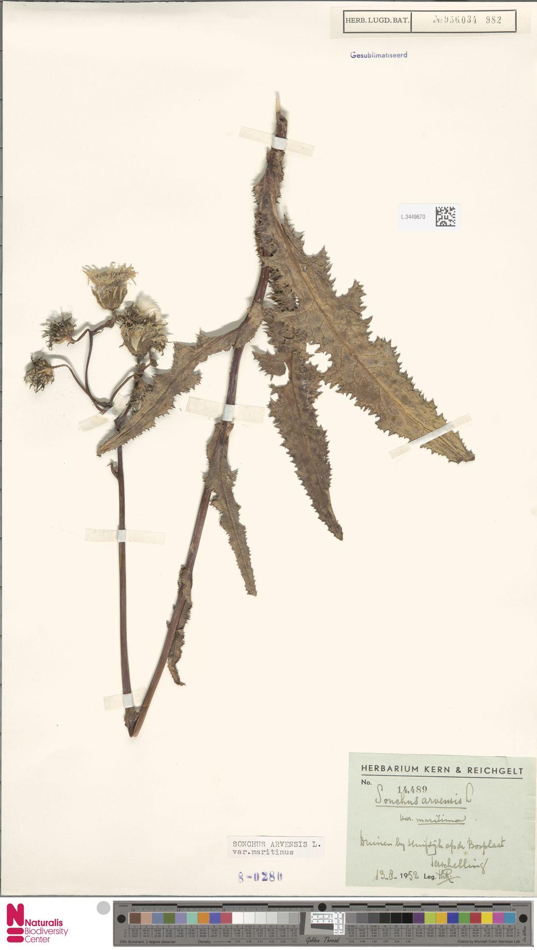 L.3449670 | Sonchus arvensis var. maritimus G.Mey.