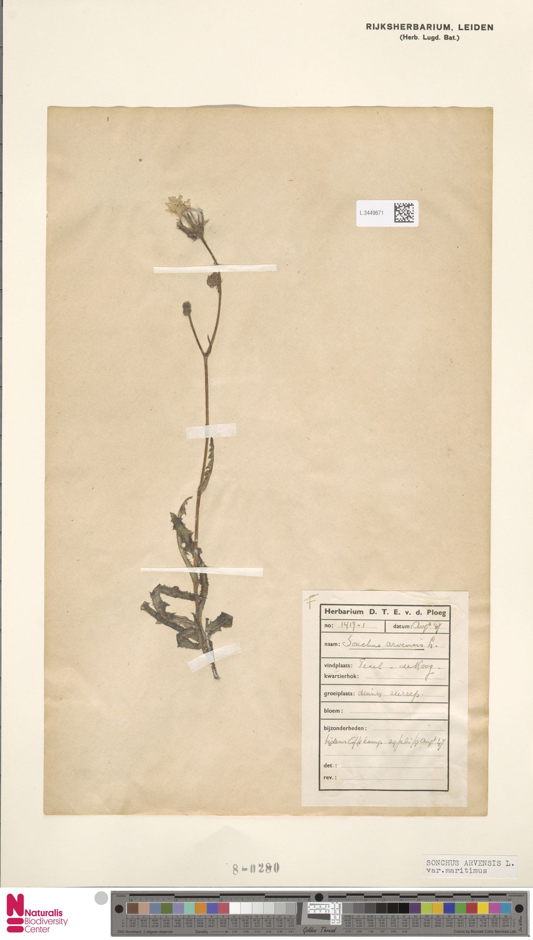 L.3449671 | Sonchus arvensis var. maritimus G.Mey.