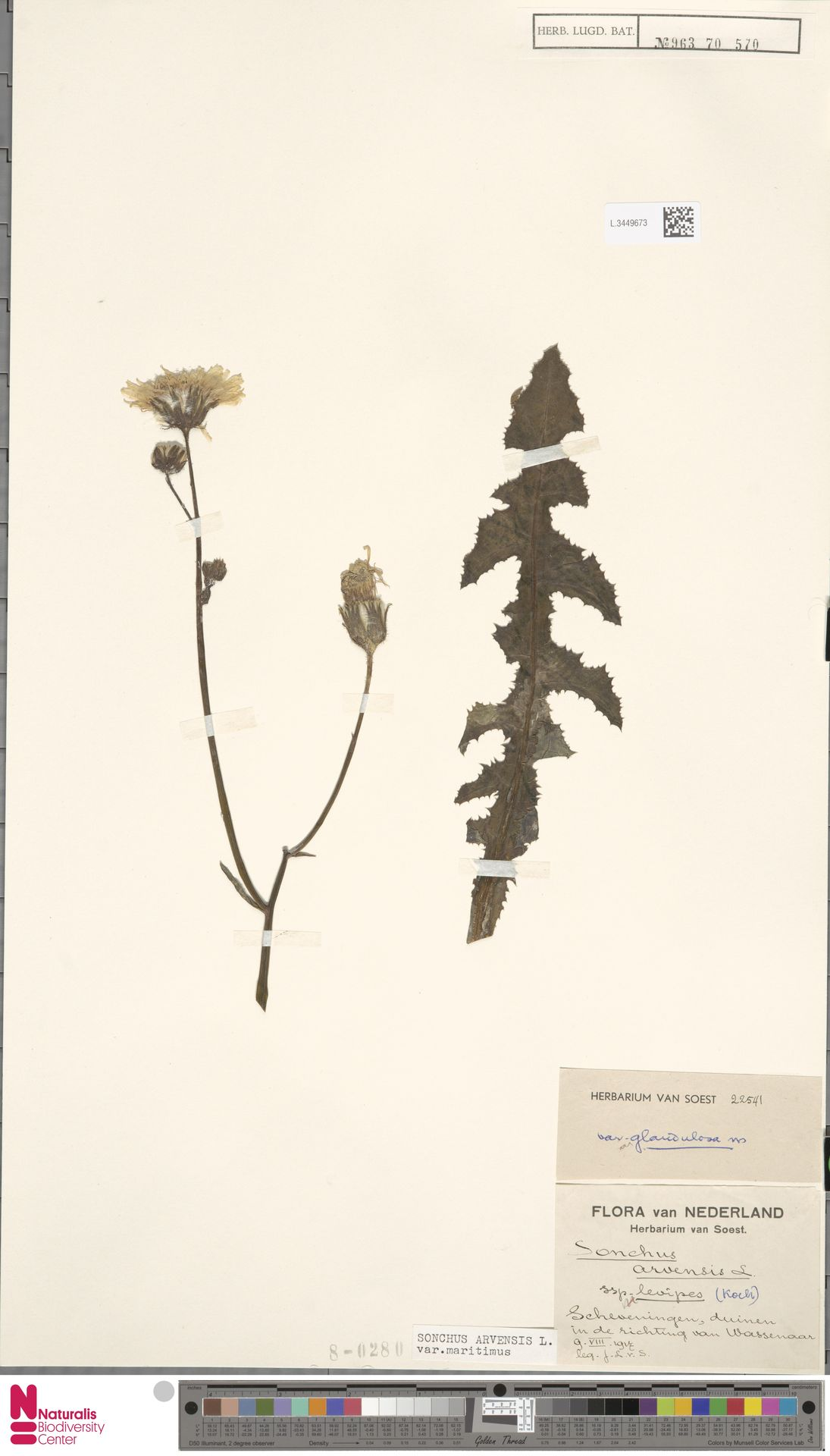 L.3449673 | Sonchus arvensis var. maritimus G.Mey.