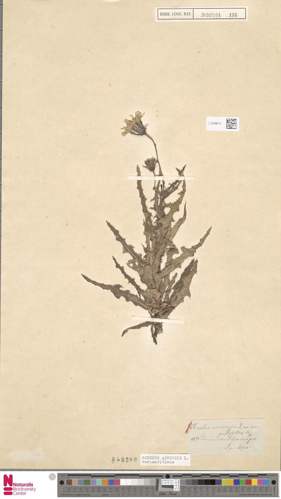 L.3449674 | Sonchus arvensis var. maritimus G.Mey.