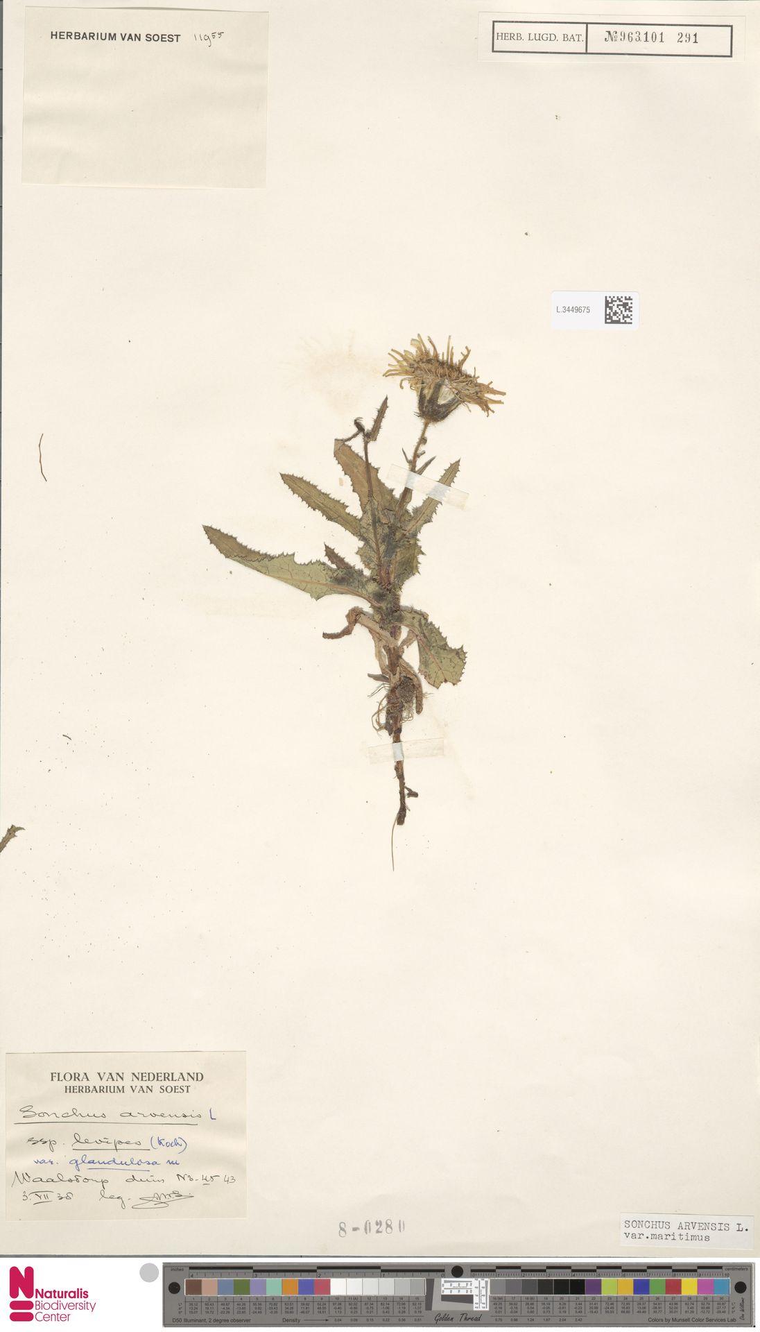 L.3449675 | Sonchus arvensis var. maritimus G.Mey.