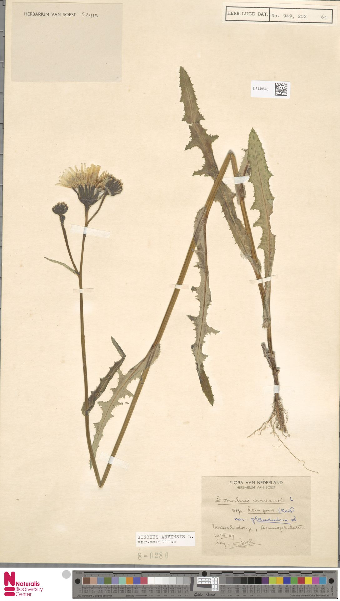 L.3449676 | Sonchus arvensis var. maritimus G.Mey.
