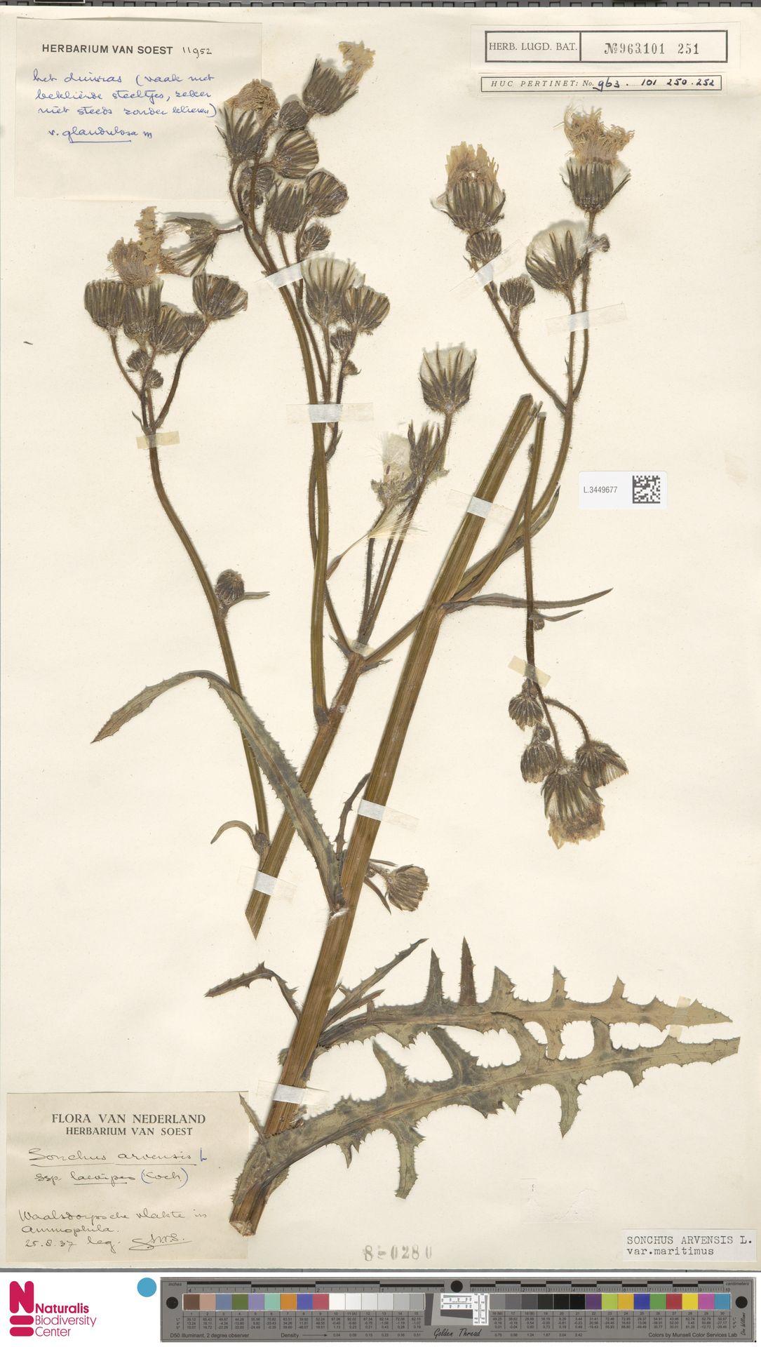 L.3449677 | Sonchus arvensis var. maritimus G.Mey.