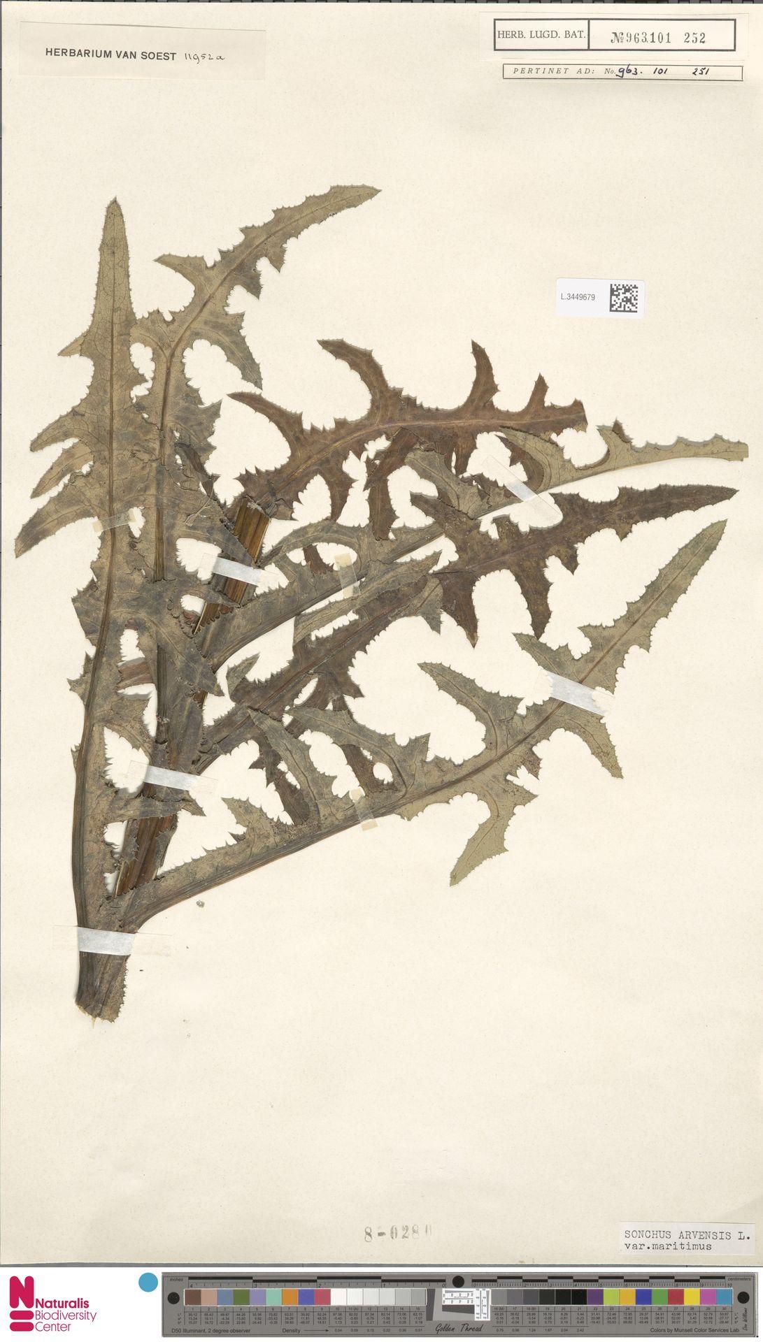 L.3449679 | Sonchus arvensis var. maritimus G.Mey.