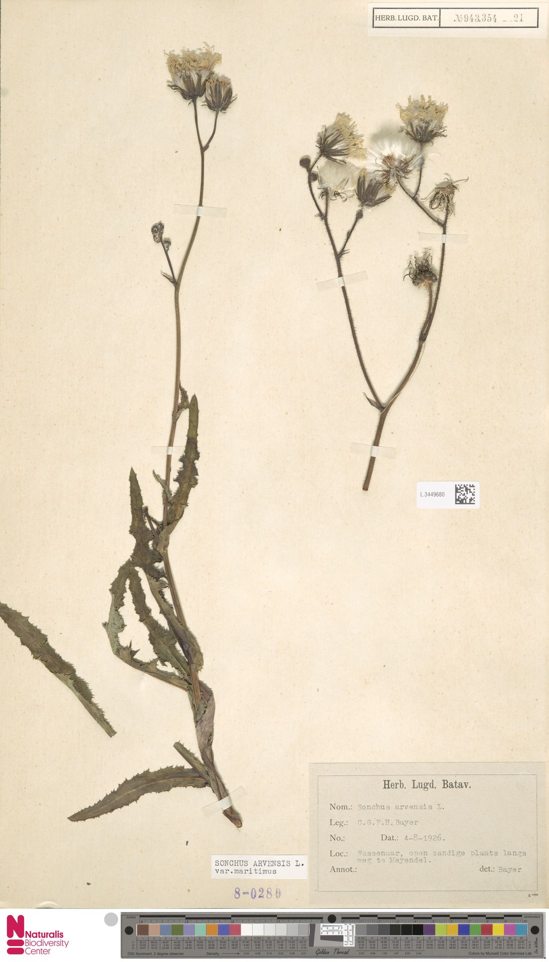 L.3449680 | Sonchus arvensis var. maritimus G.Mey.