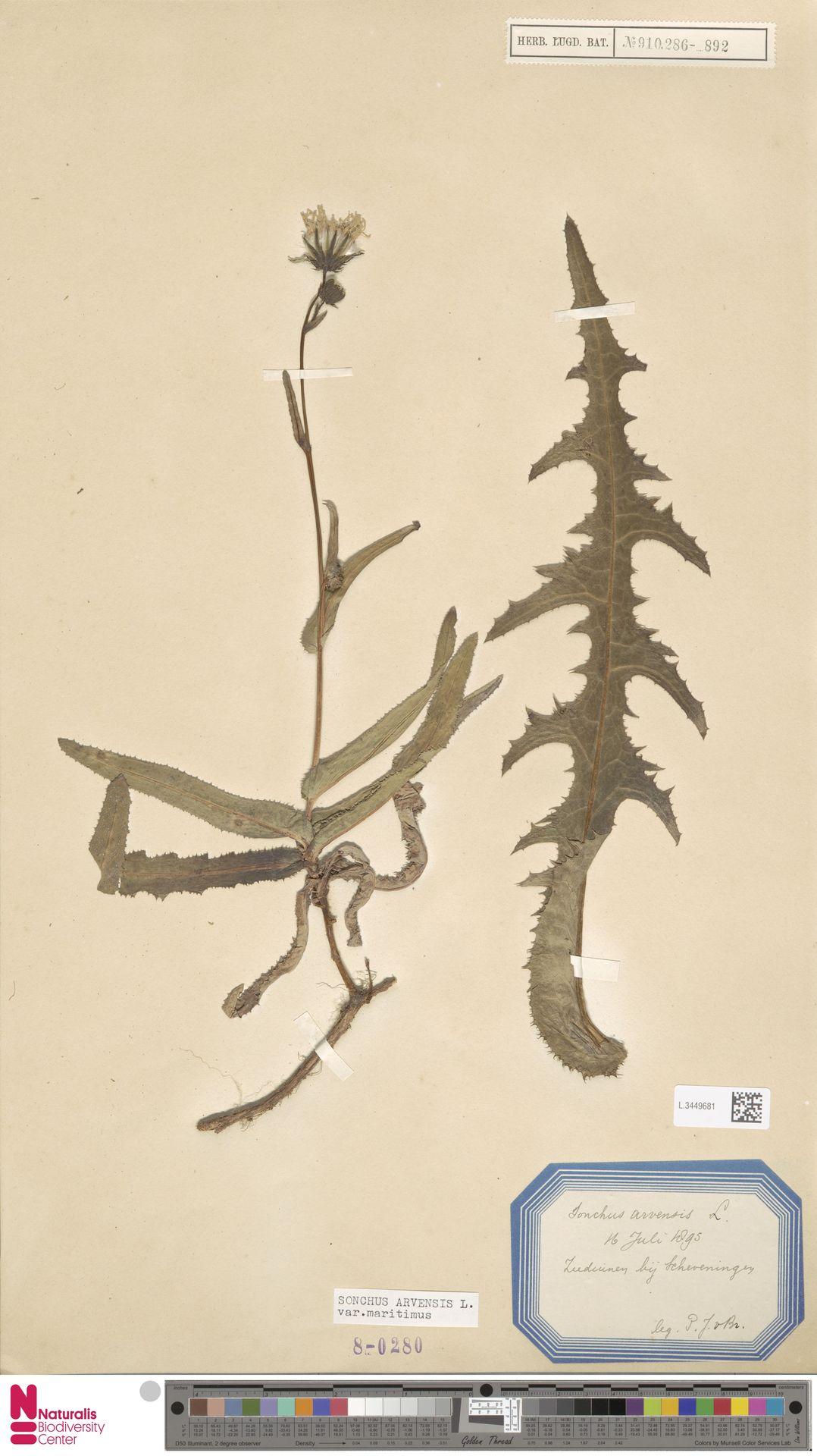 L.3449681 | Sonchus arvensis var. maritimus G.Mey.