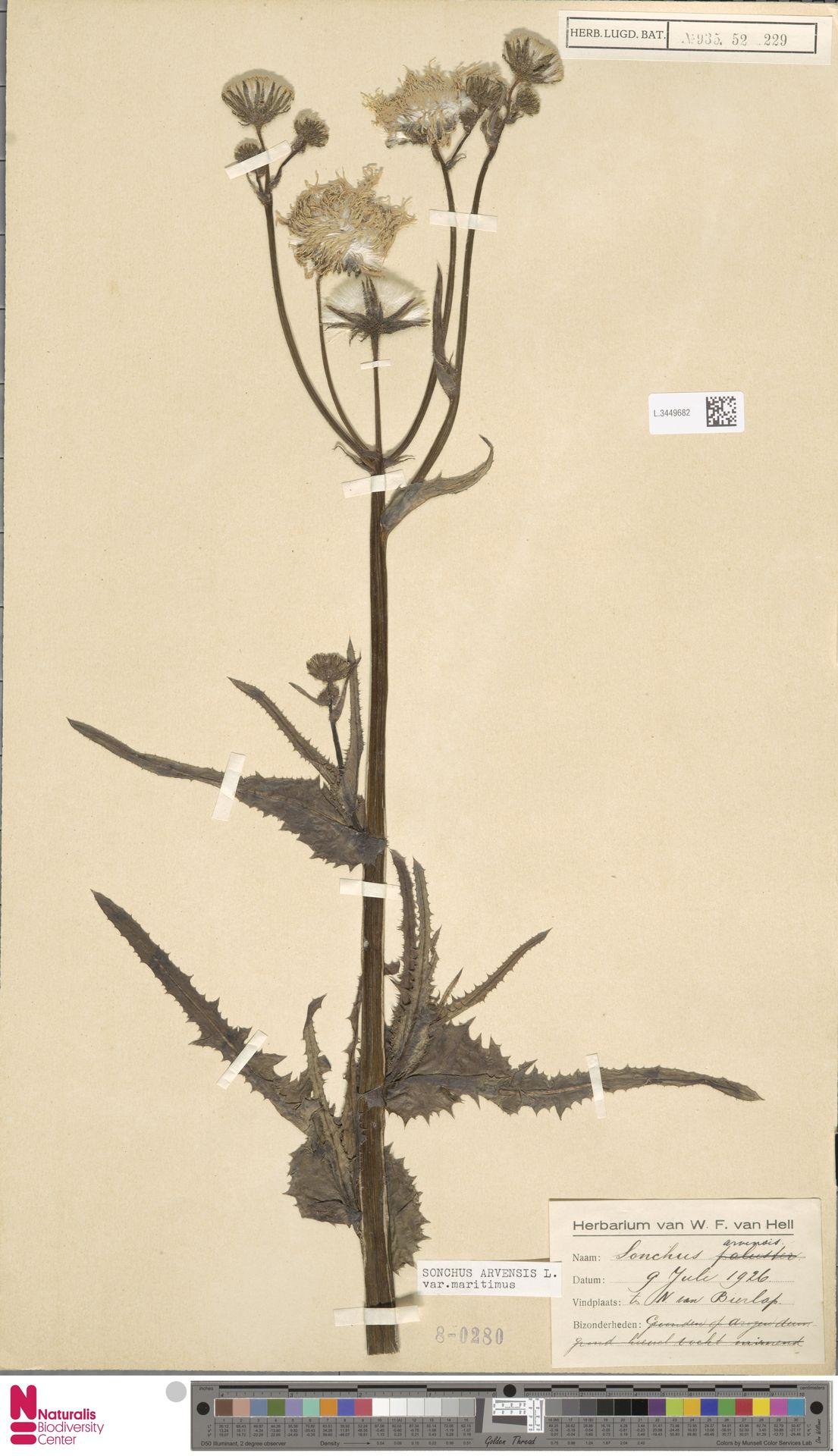 L.3449682 | Sonchus arvensis var. maritimus G.Mey.