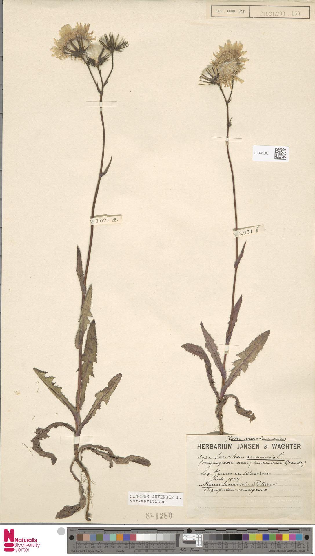 L.3449683 | Sonchus arvensis var. maritimus G.Mey.