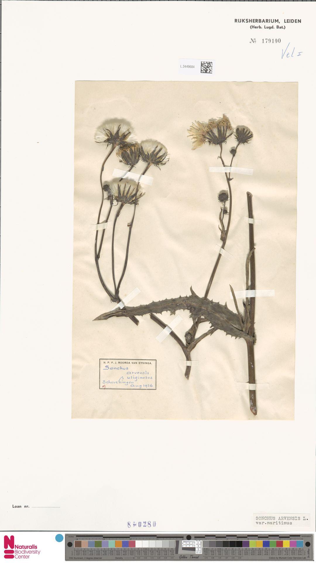 L.3449684 | Sonchus arvensis var. maritimus G.Mey.