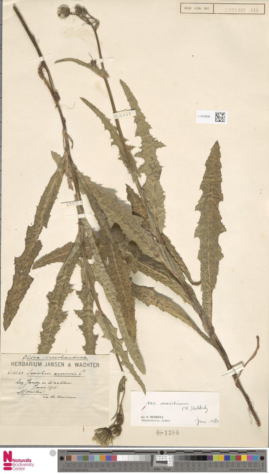 L.3449686   Sonchus arvensis var. maritimus G.Mey.