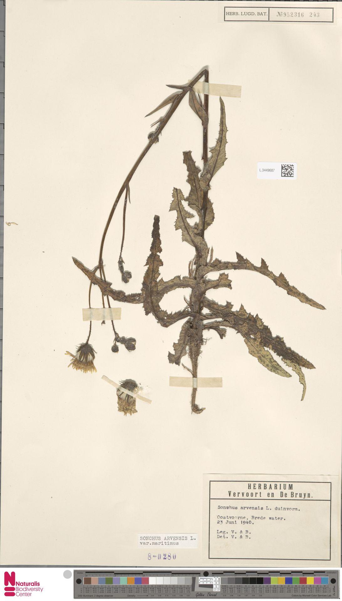L.3449687 | Sonchus arvensis var. maritimus G.Mey.