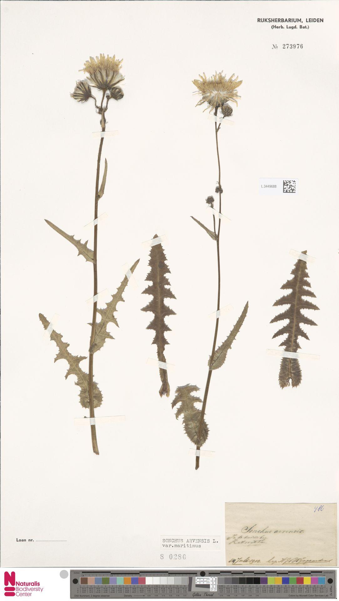 L.3449688 | Sonchus arvensis var. maritimus G.Mey.