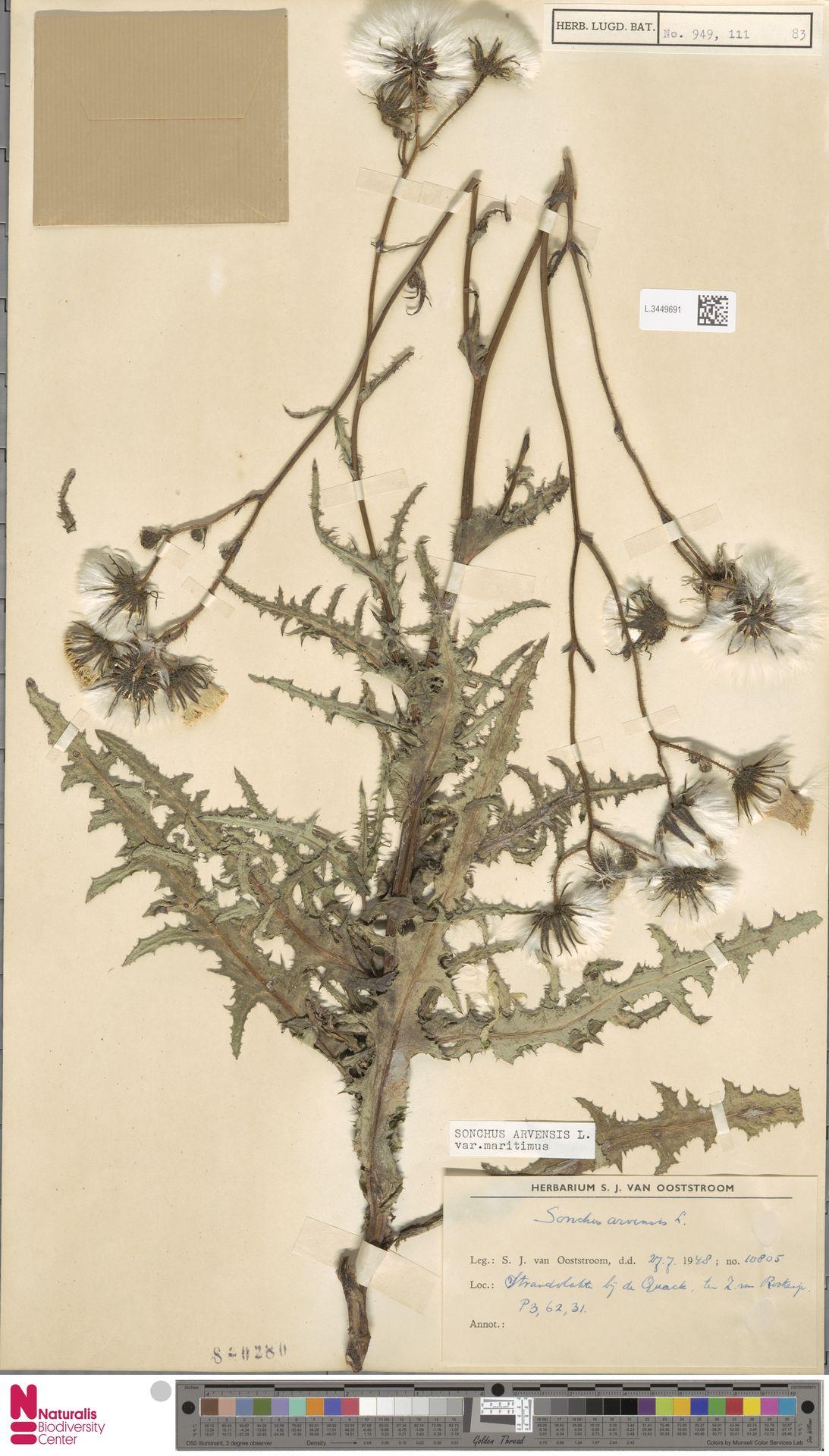 L.3449691 | Sonchus arvensis var. maritimus G.Mey.