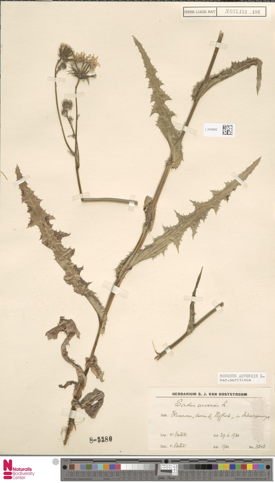 L.3449692 | Sonchus arvensis var. maritimus G.Mey.