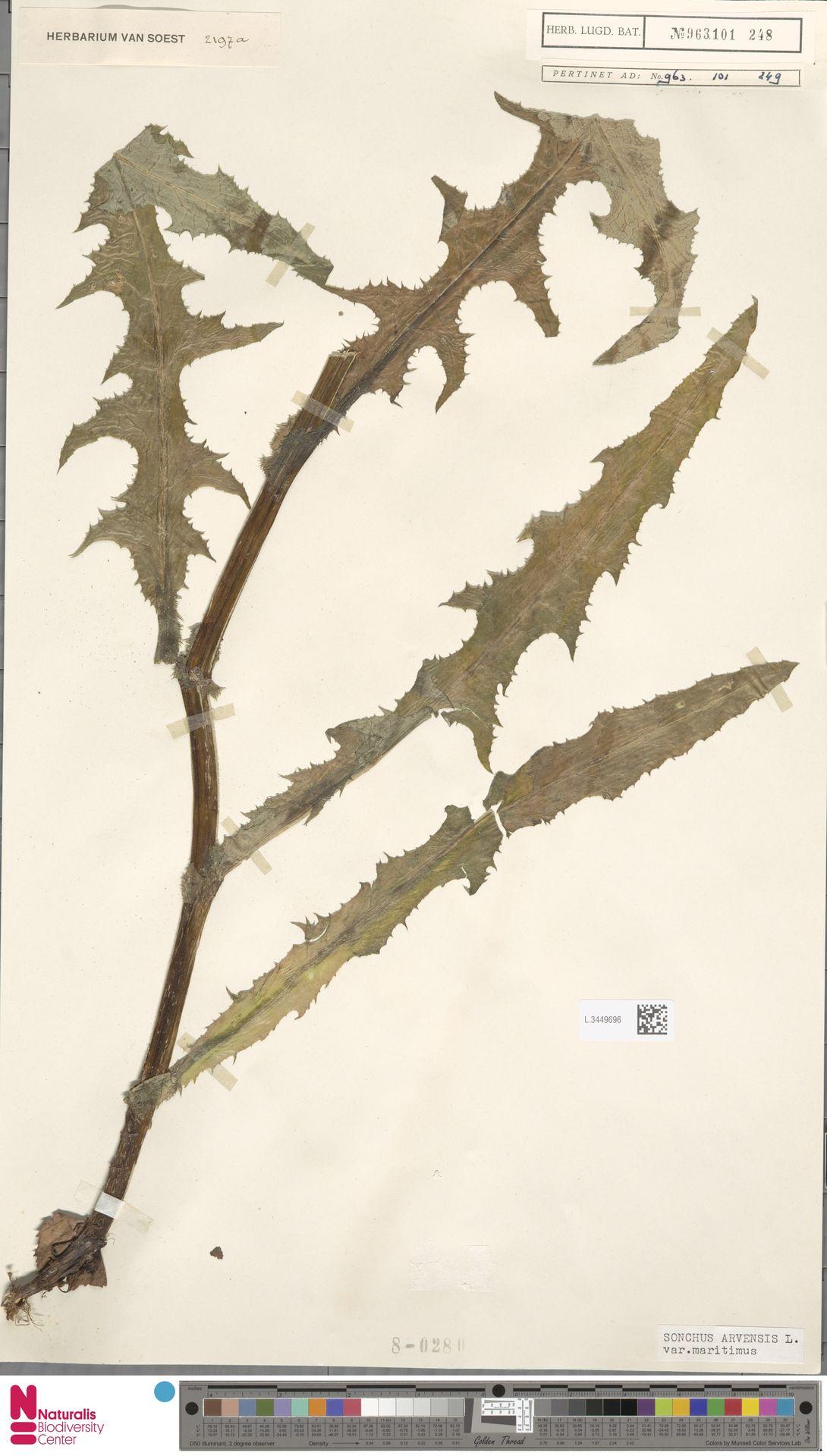 L.3449696 | Sonchus arvensis var. maritimus G.Mey.