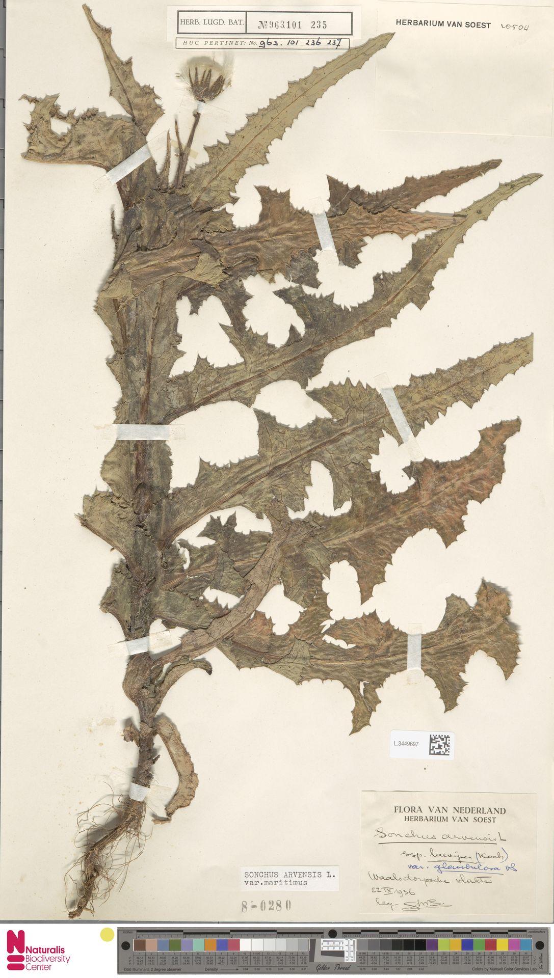 L.3449697 | Sonchus arvensis var. maritimus G.Mey.