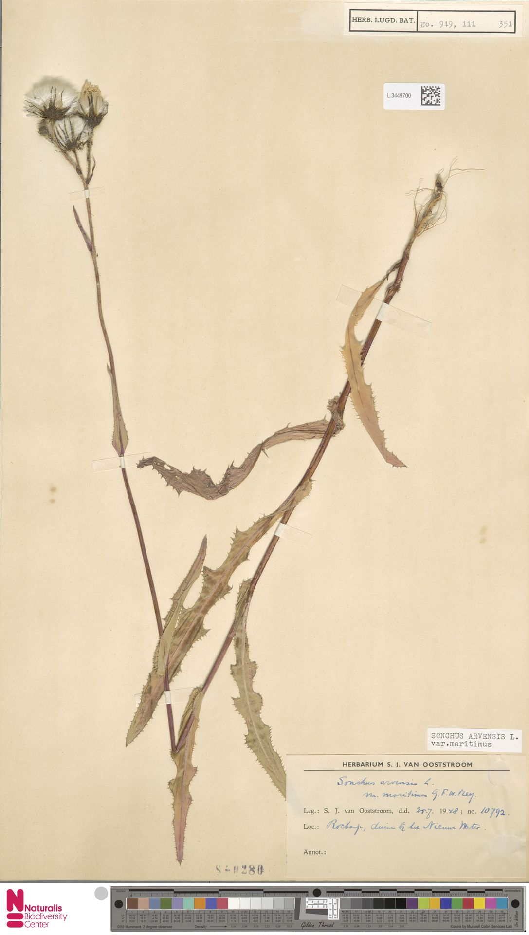 L.3449700   Sonchus arvensis var. maritimus G.Mey.