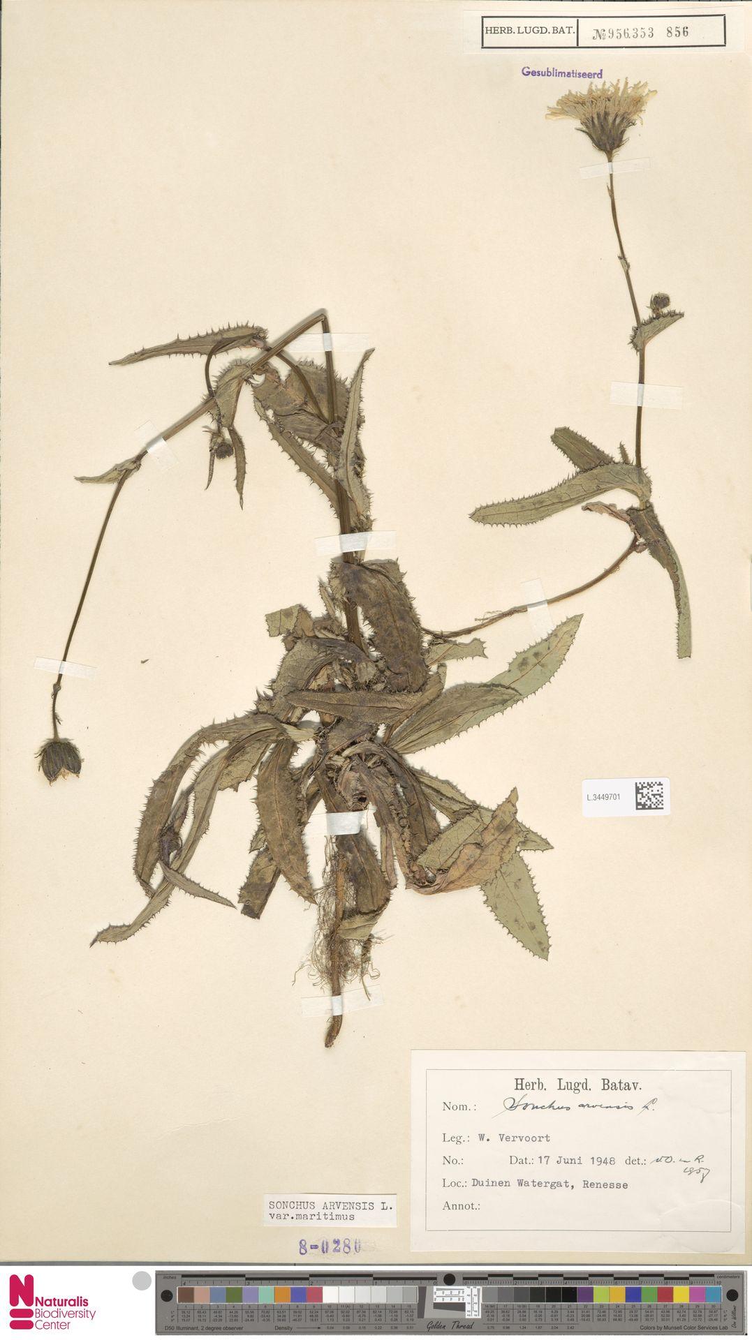 L.3449701 | Sonchus arvensis var. maritimus G.Mey.