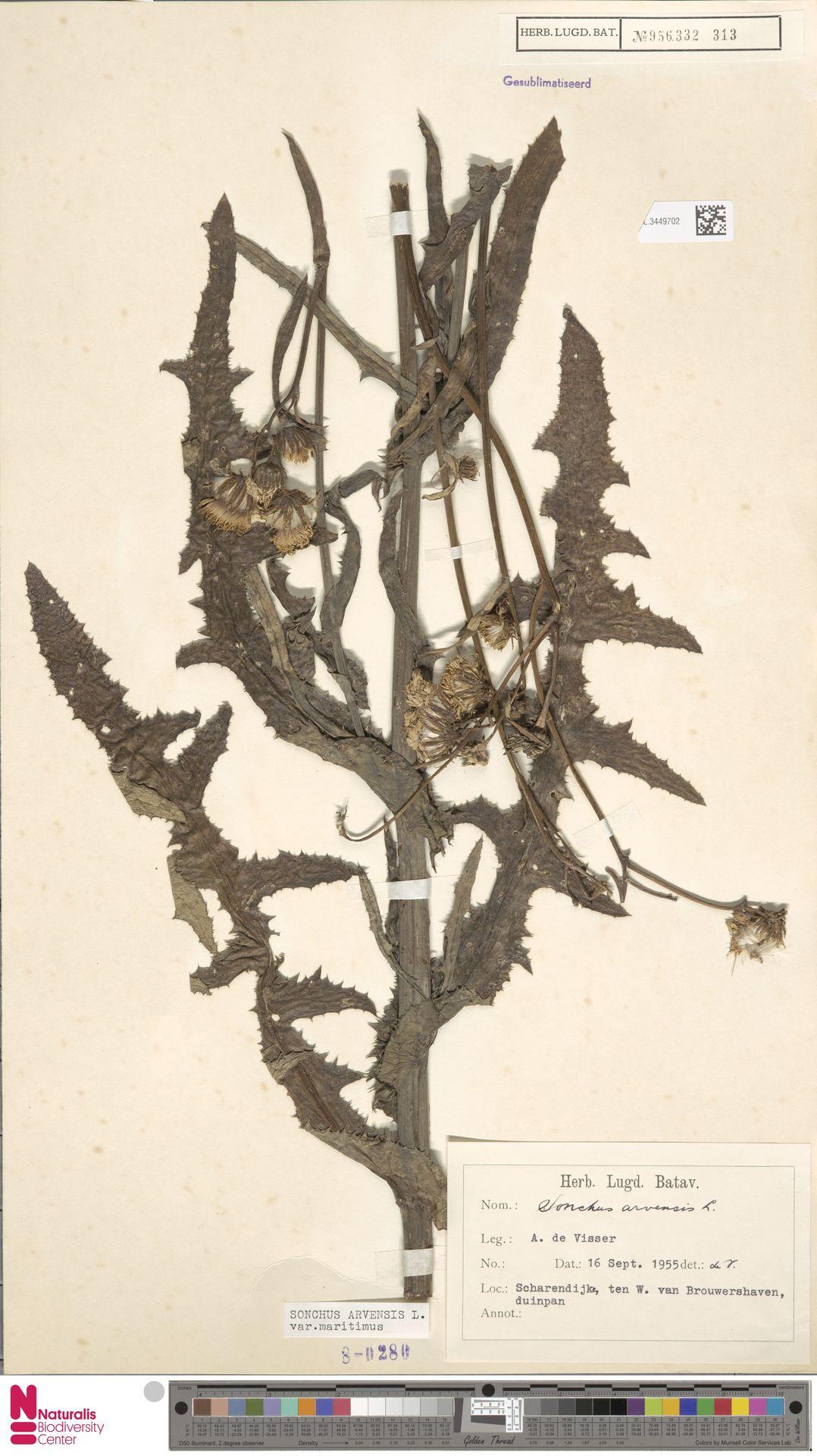 L.3449702 | Sonchus arvensis var. maritimus G.Mey.