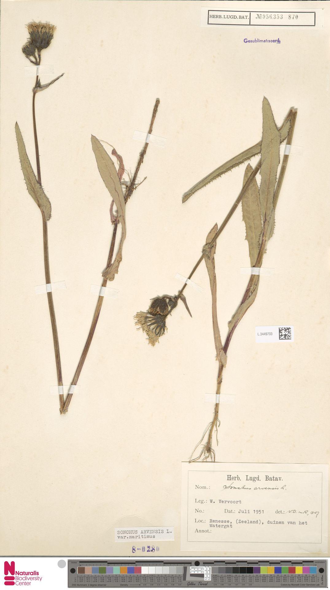 L.3449703 | Sonchus arvensis var. maritimus G.Mey.