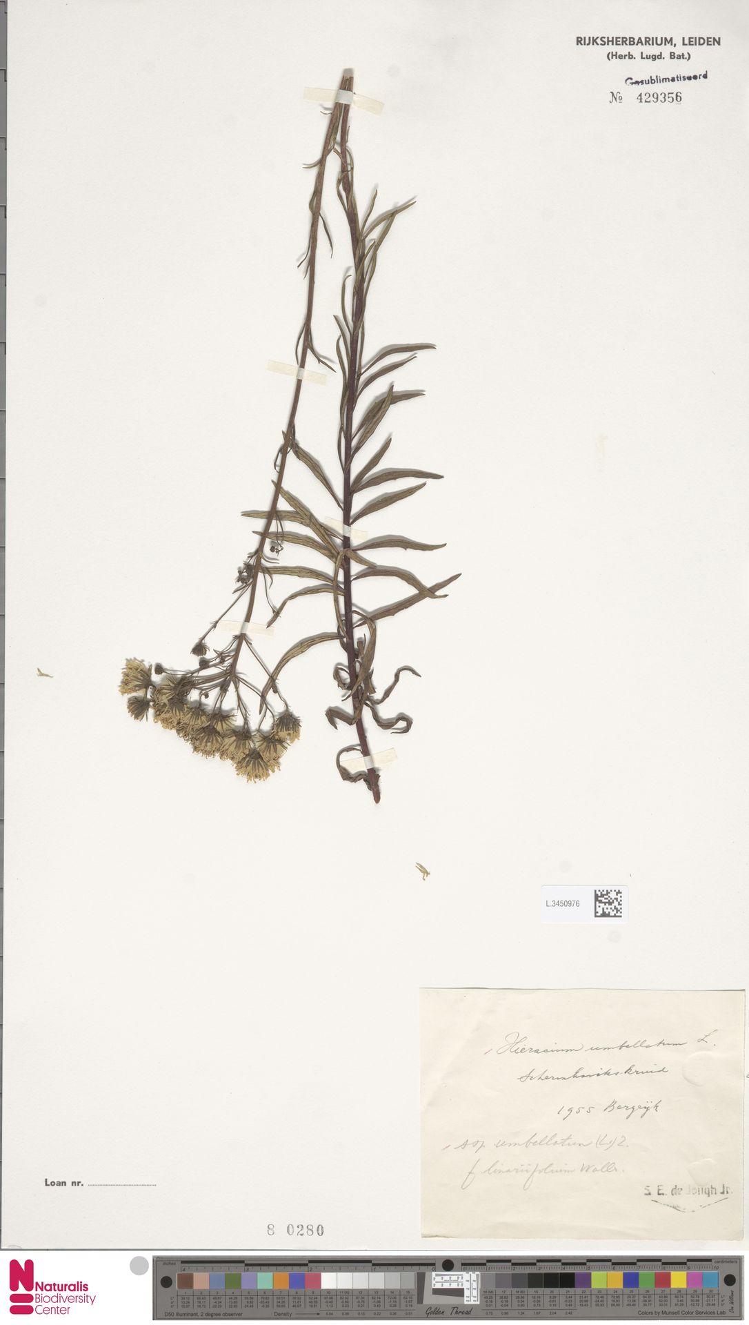 L.3450976 | Hieracium umbellatum subsp. umbellatum Zahn