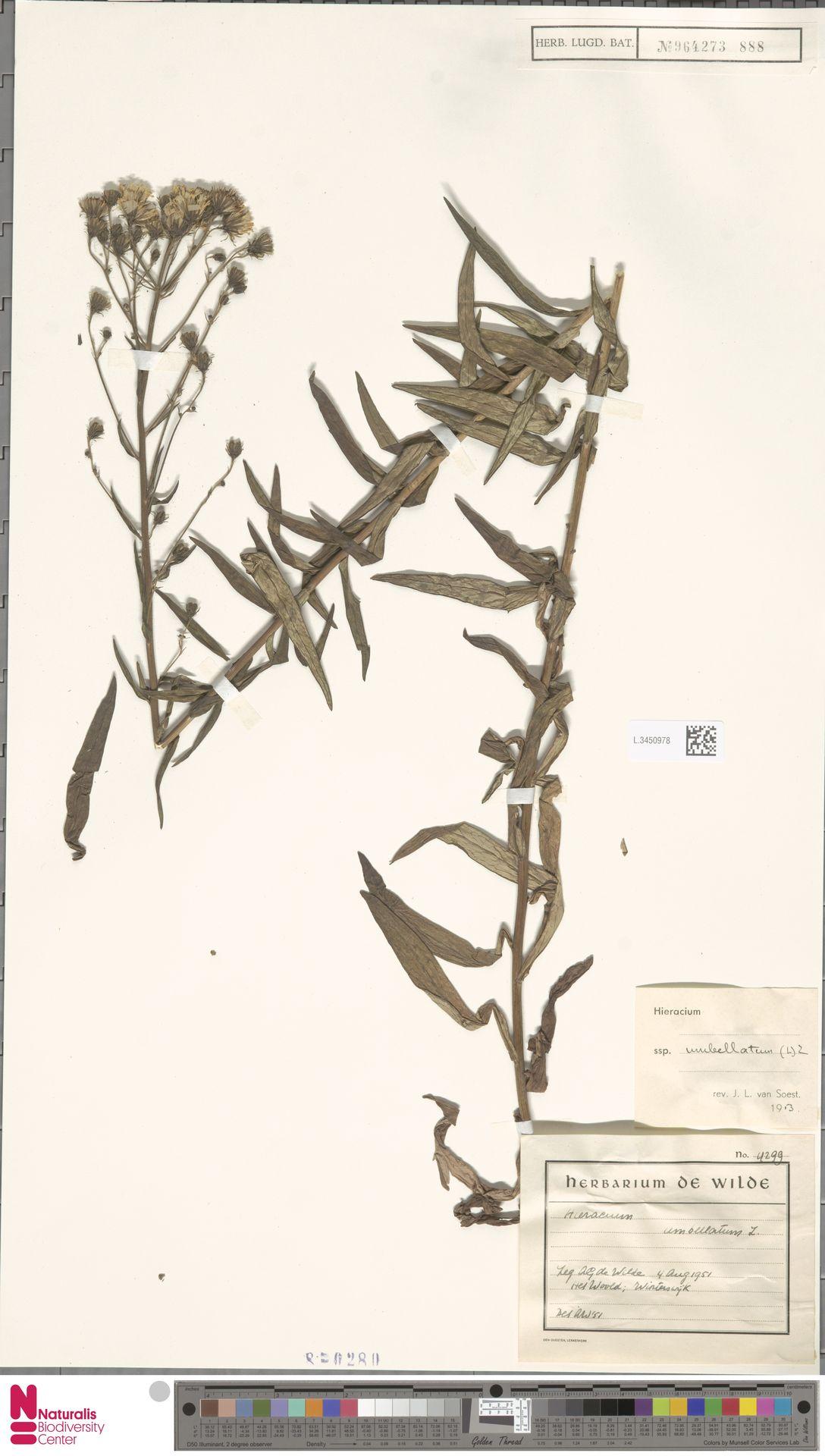 L.3450978 | Hieracium umbellatum subsp. umbellatum Zahn